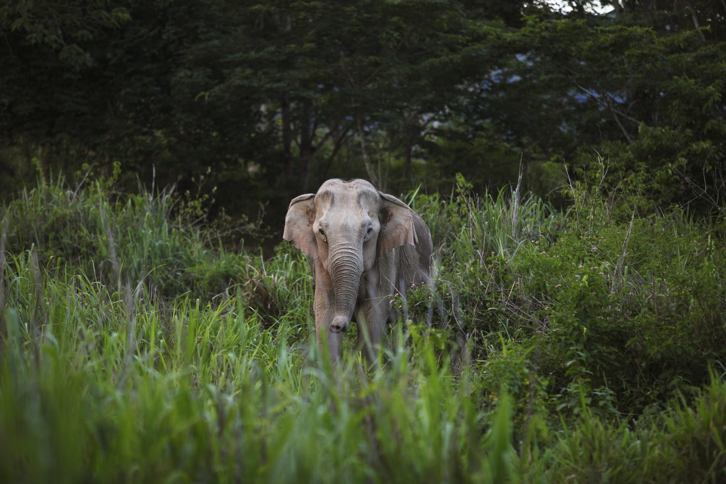 Asiatischer Elefant im Gebüsch
