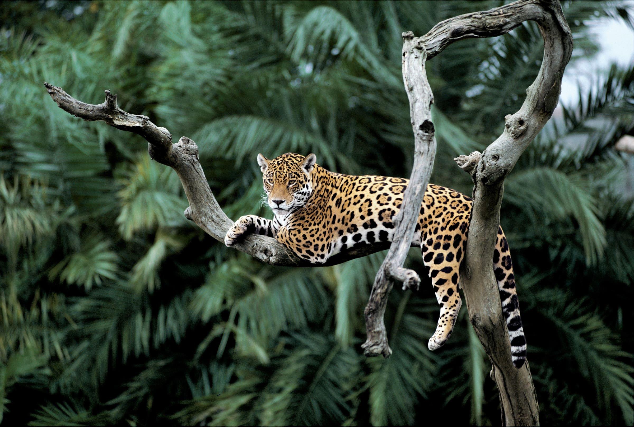 Jaguar auf Baum