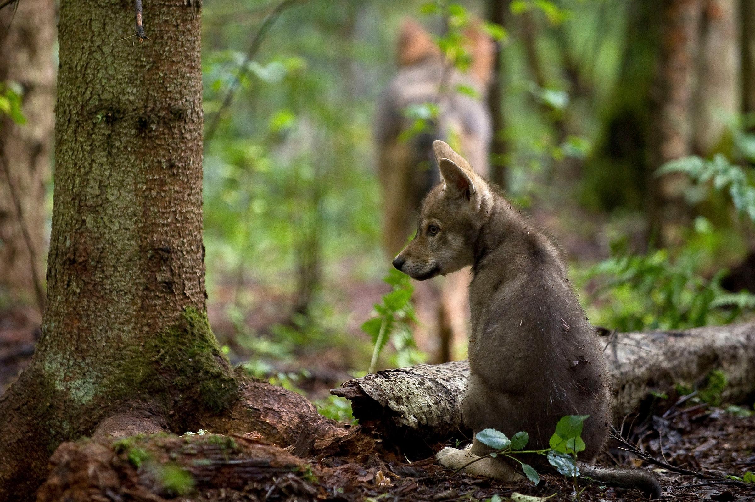 Wolfswelpe sitzt im Wald