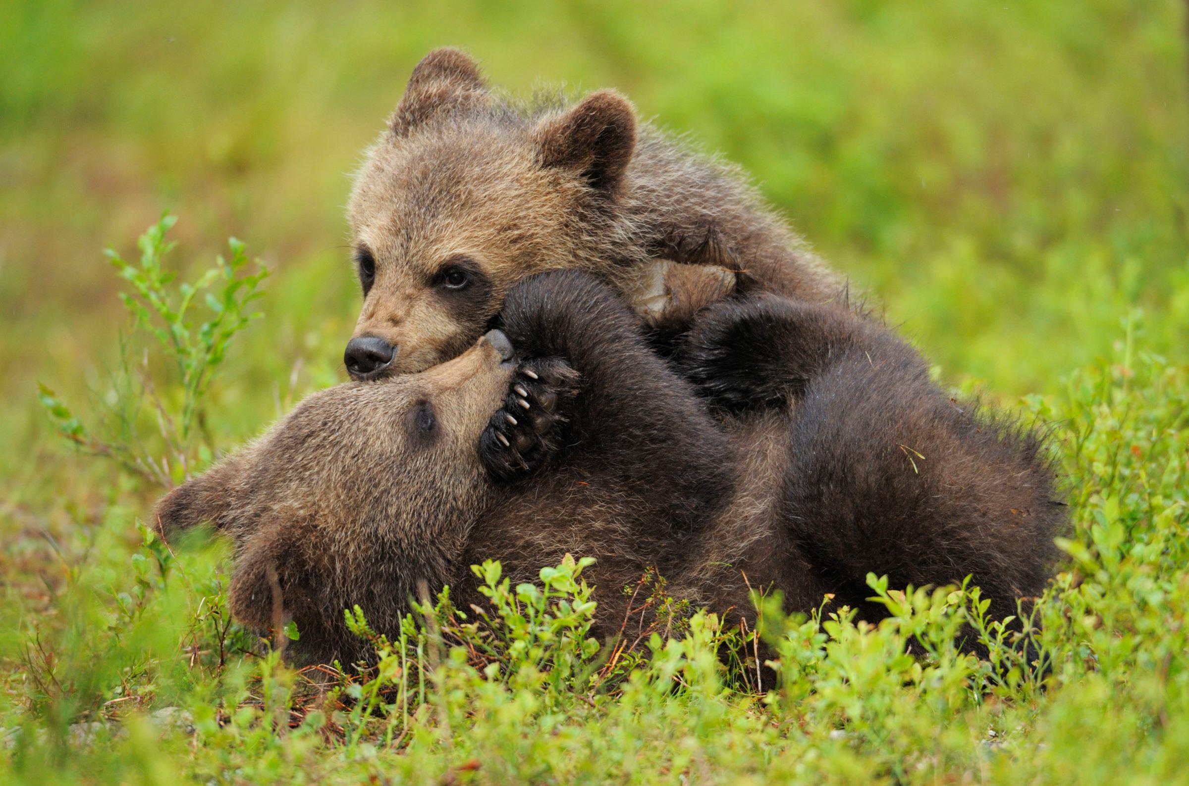 Junge Braunbären beim Herumtollen