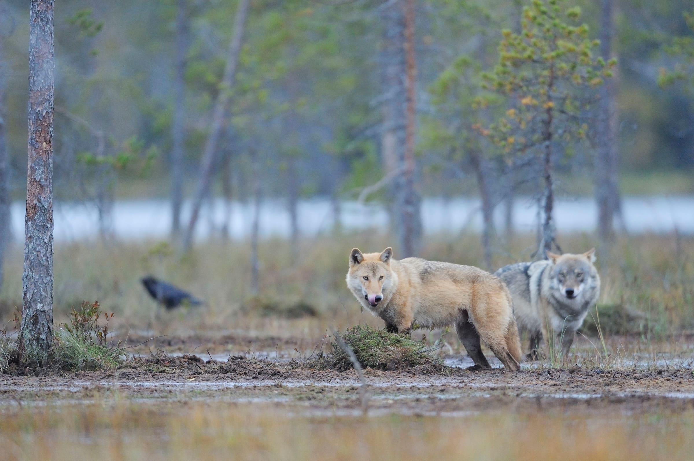 Zwei Wölfe in Finnland