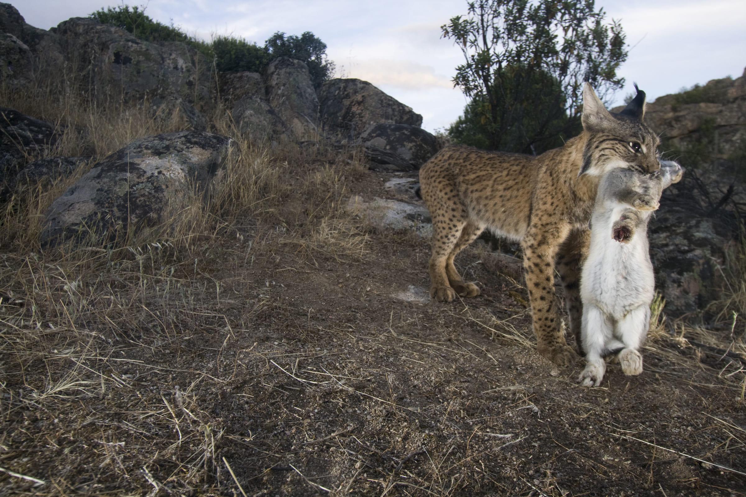 Lynx ibérique avec sa proie