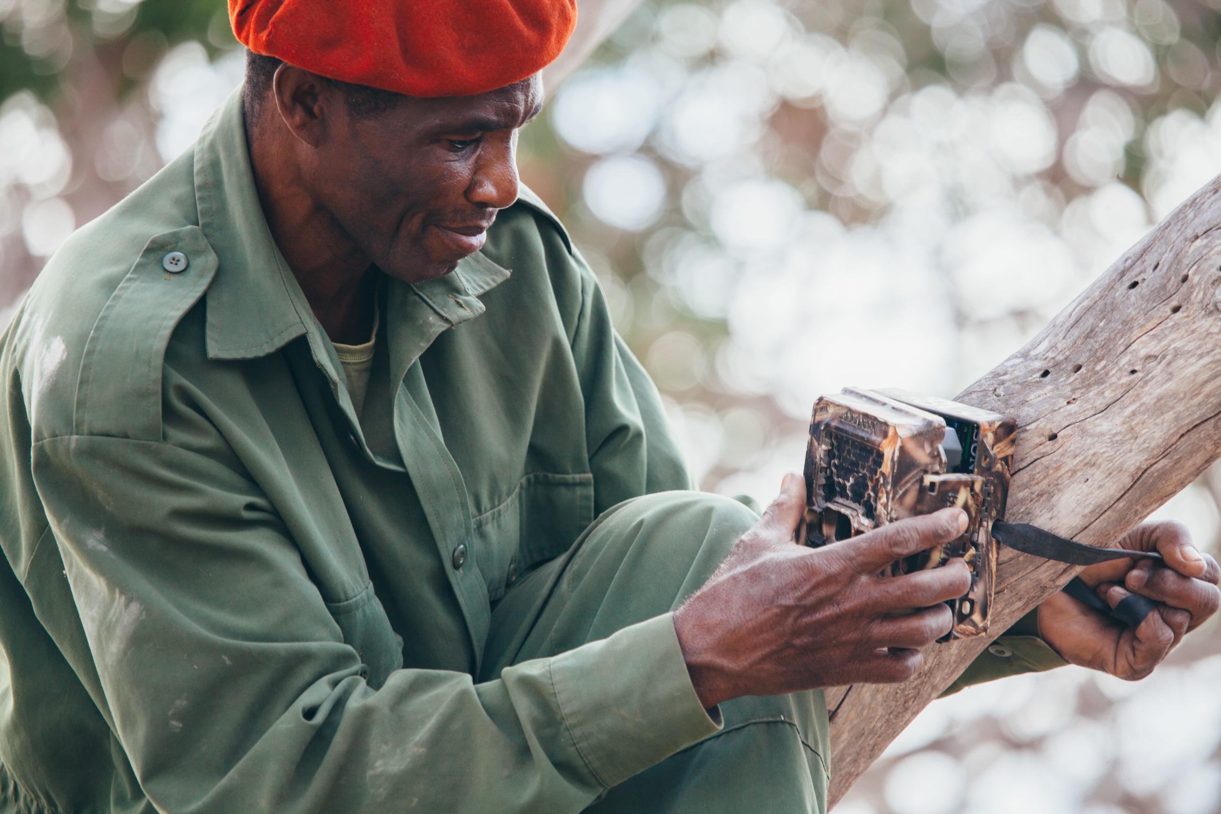 Ranger befestigt eine Kamerafalle am Baum