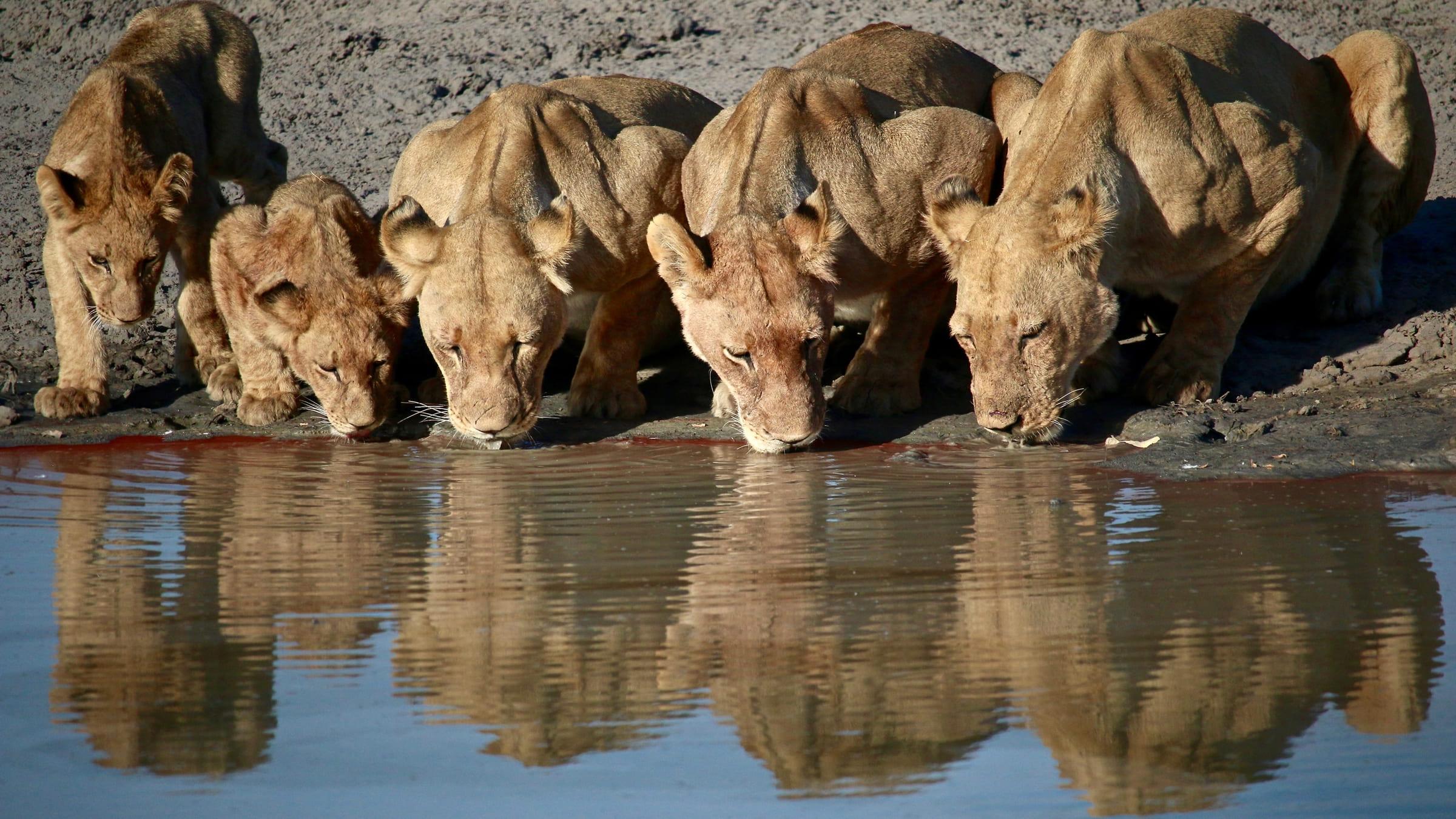 Leoni che si abbeverano in Botswana