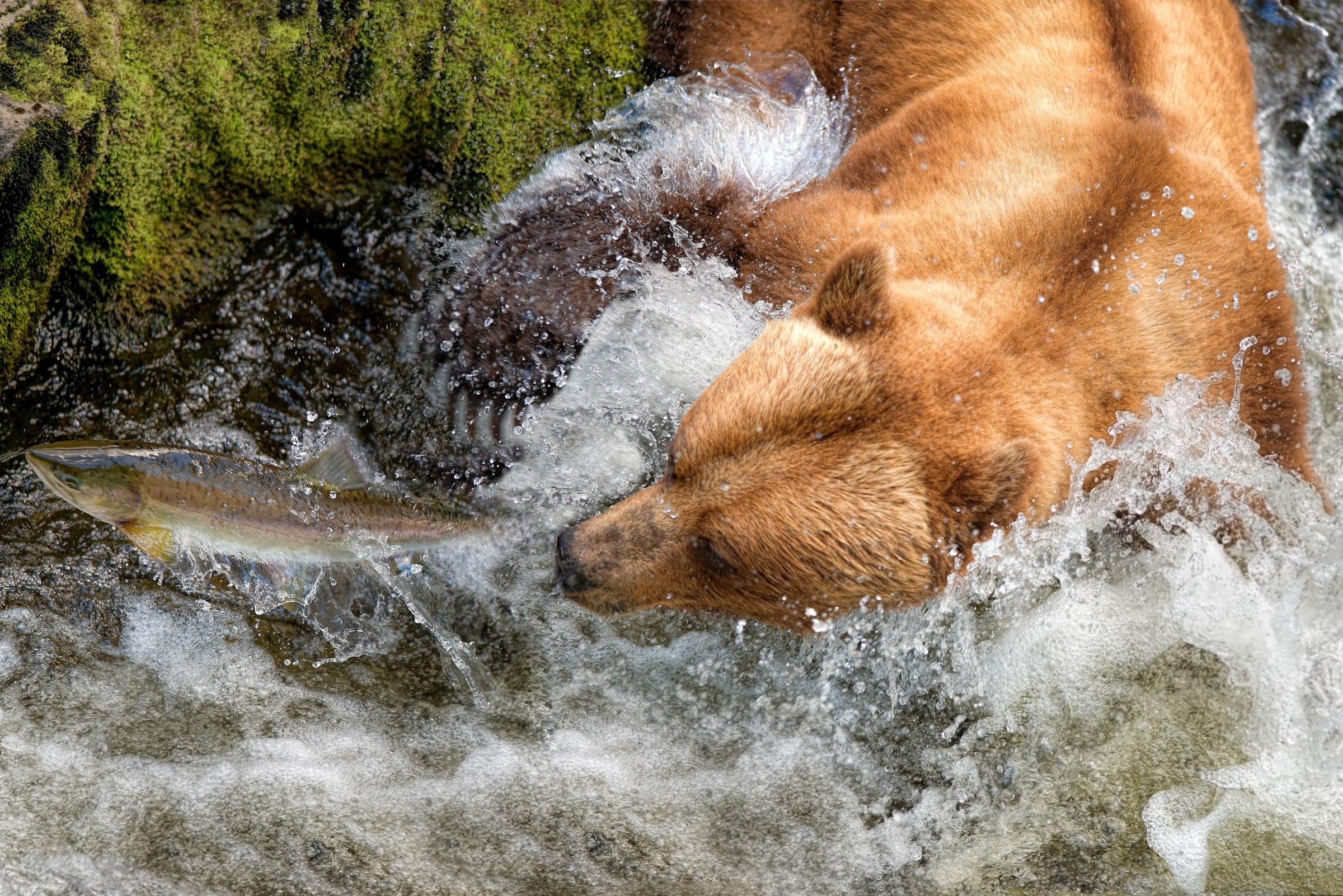Ein Grizzlybär in Alaska fängt einen Lachs.