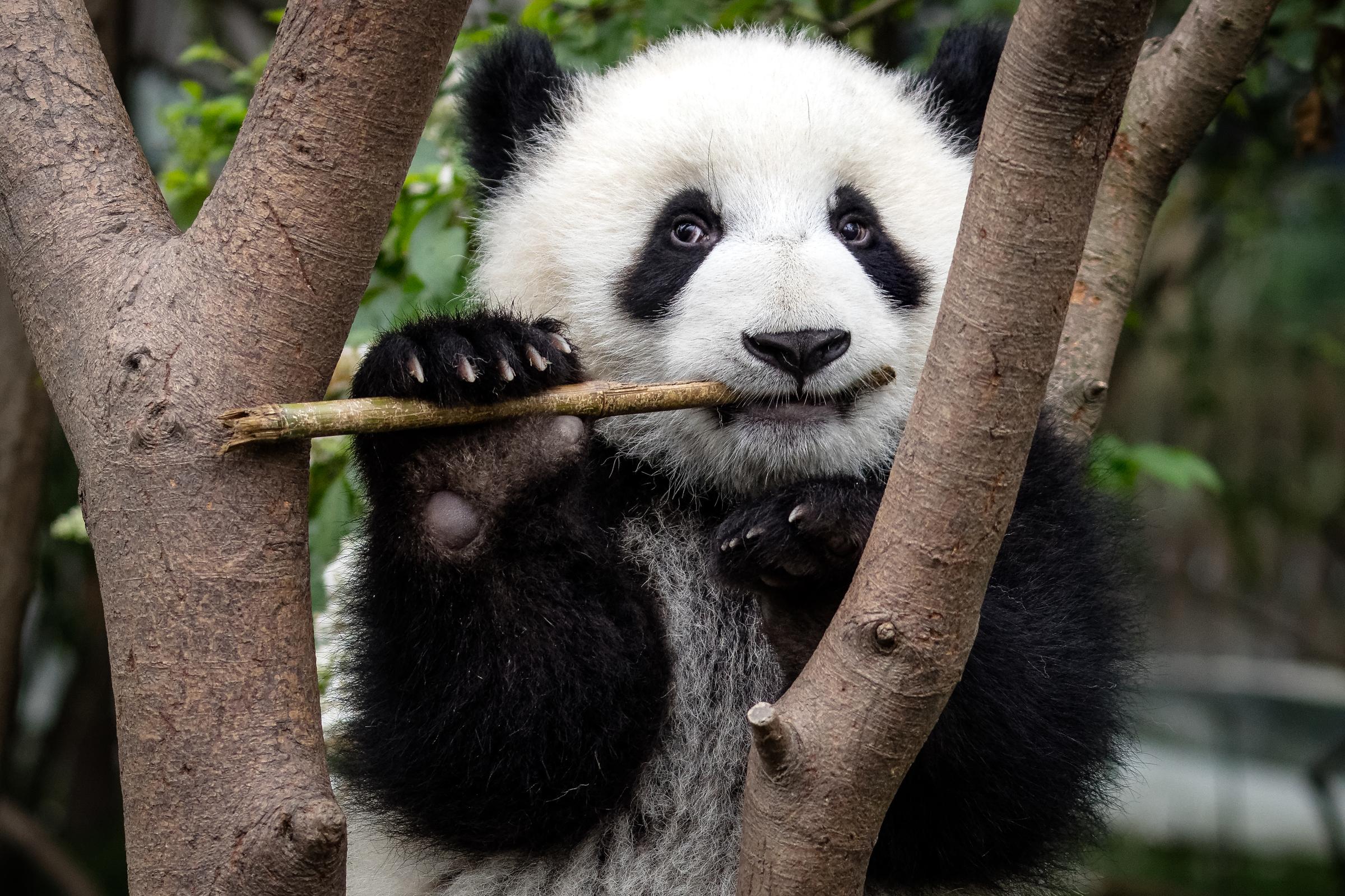 Grosser Panda frisst Bambus