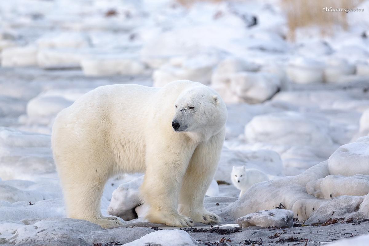 Polarfuchs mit Eisbär