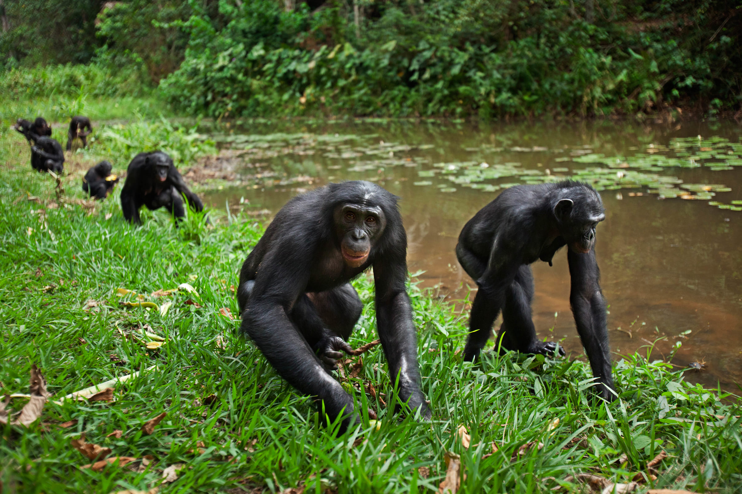 Bonobogruppe