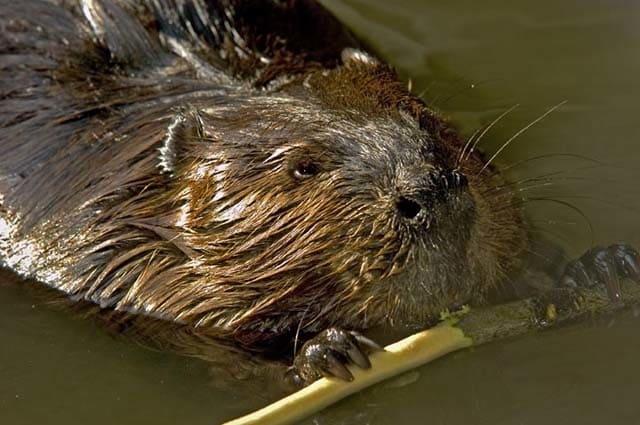 Un castoro rosicchia un rametto.