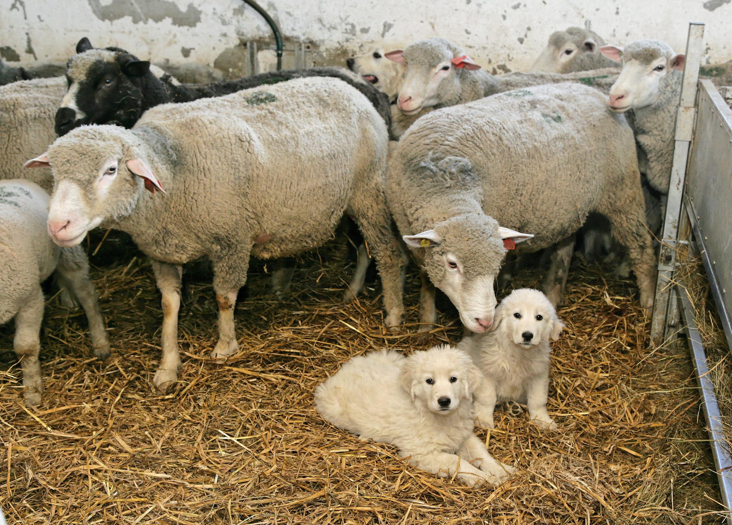 Herdenschutzhunde mit Schafen im Stall