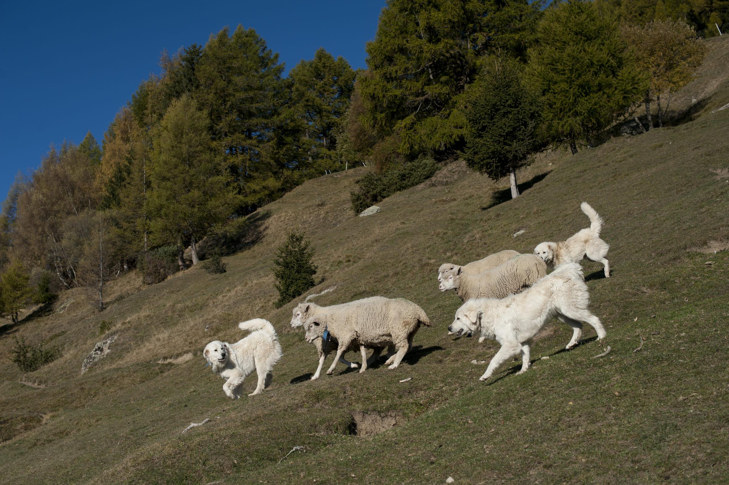 Herdenschutzhunde schützen Schafe vor Bären.