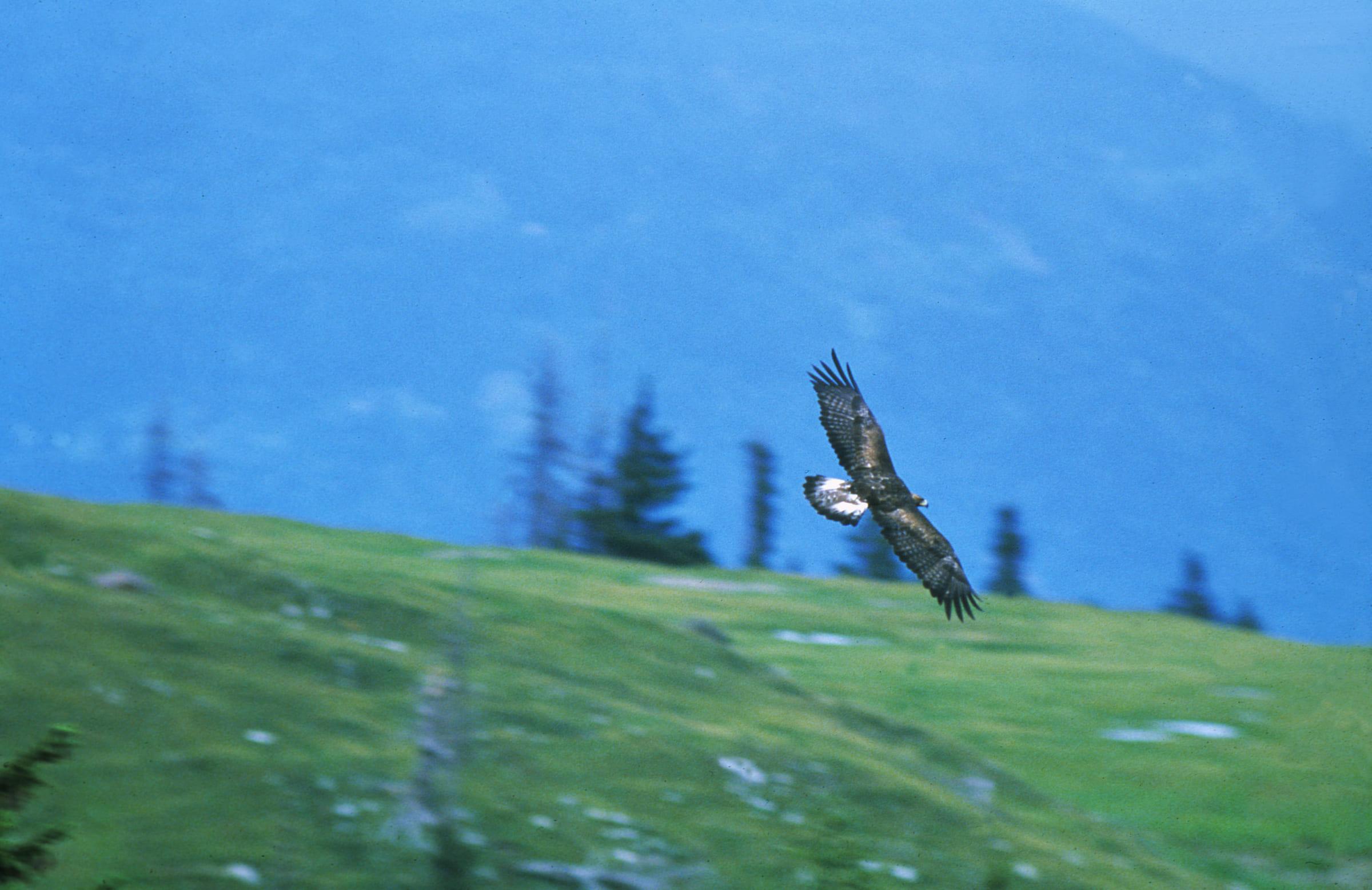 Fliegender Steinadler