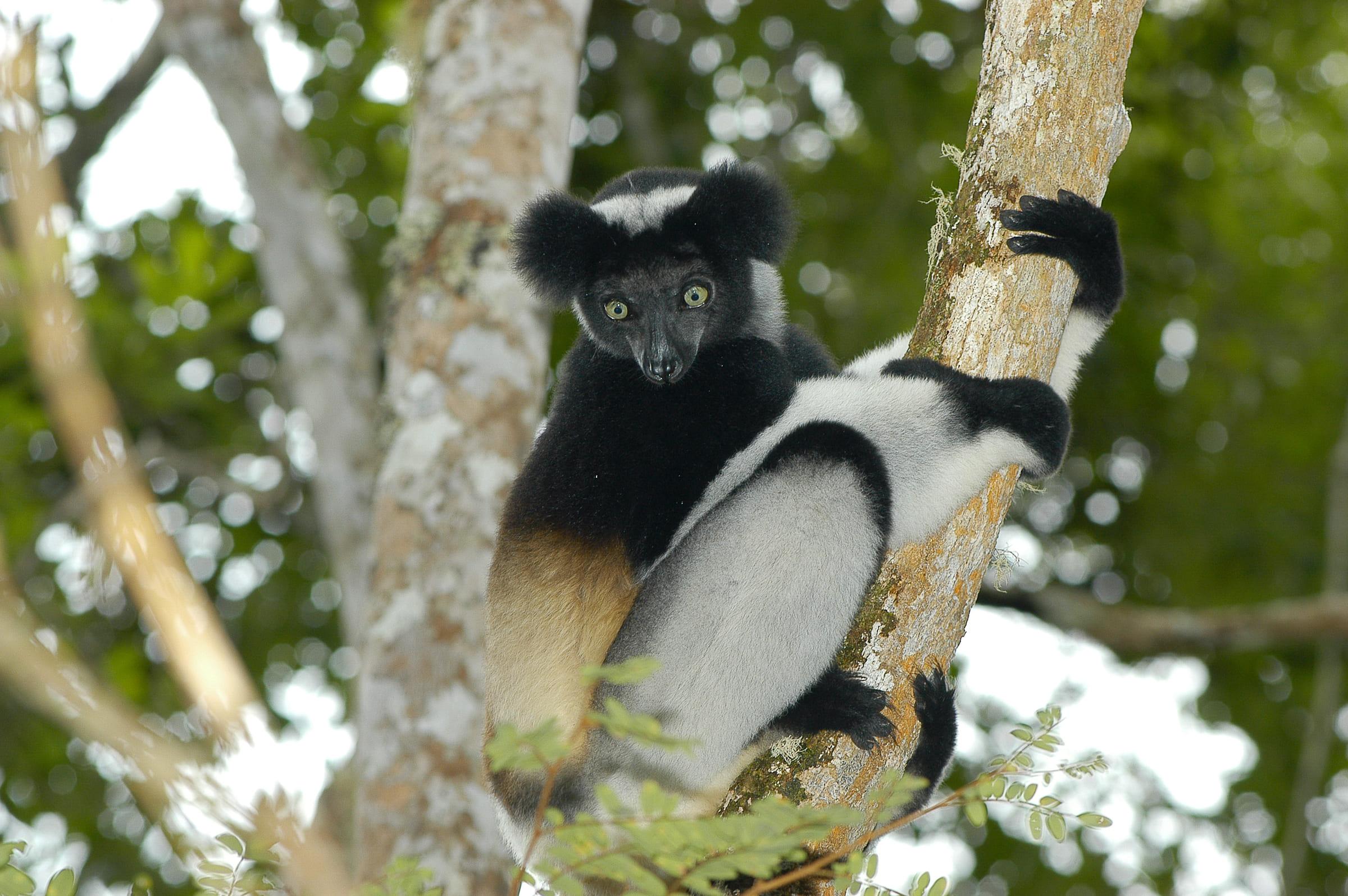 Indri auf einem Baum
