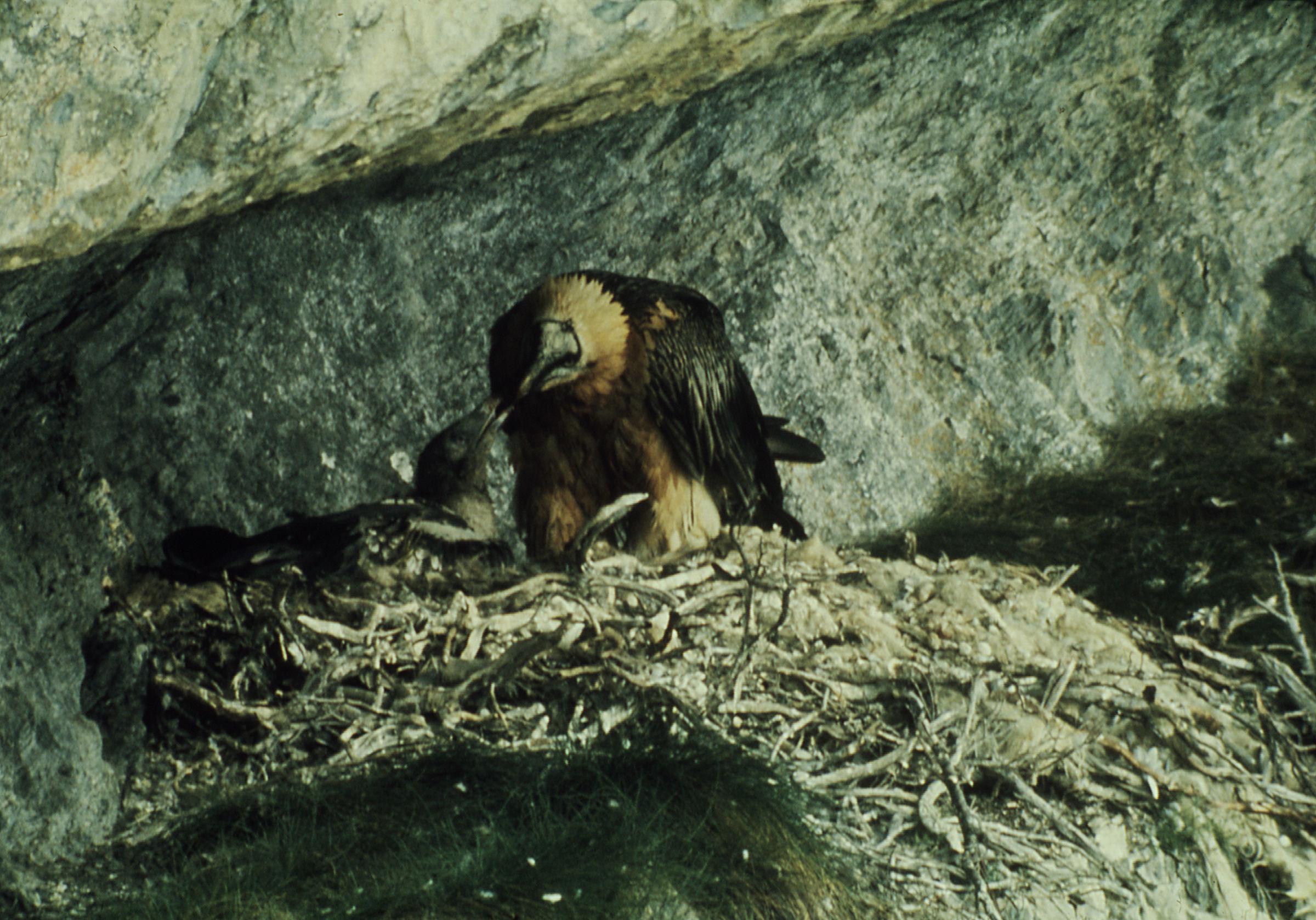 Bartgeier füttert Jungtier im Nest