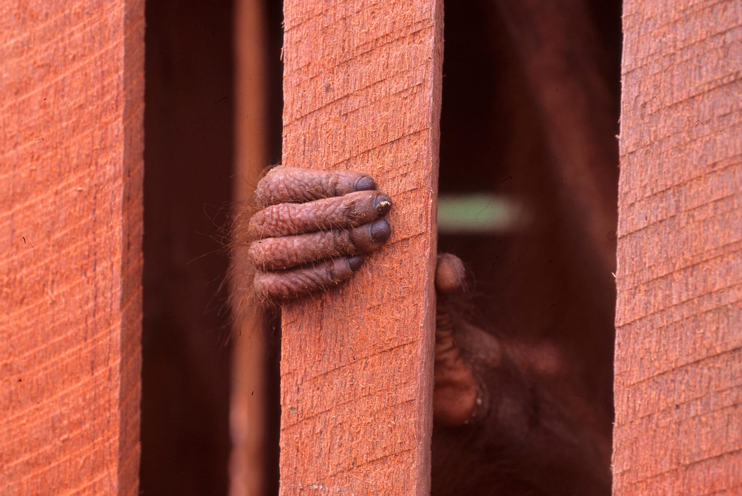 Gefangener Orang-Utan