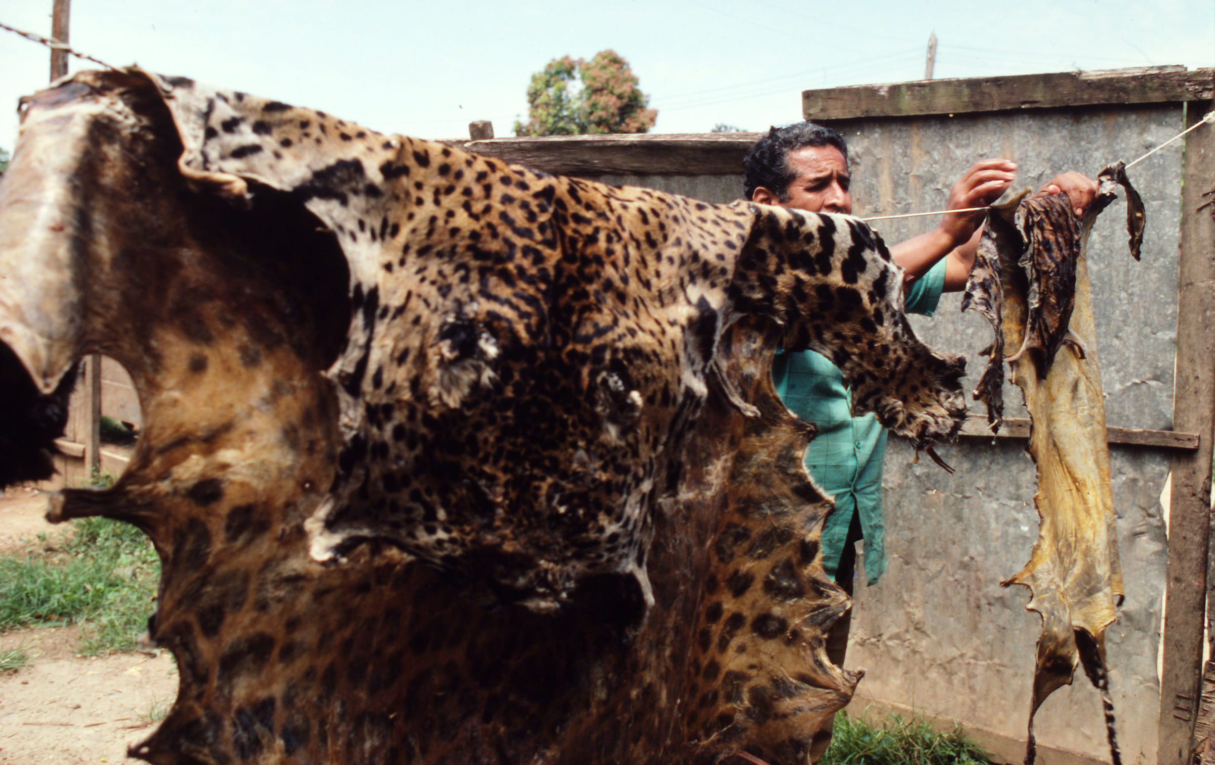 Jaguar- und Ozelotfelle werden zum Verkauf angeboten.