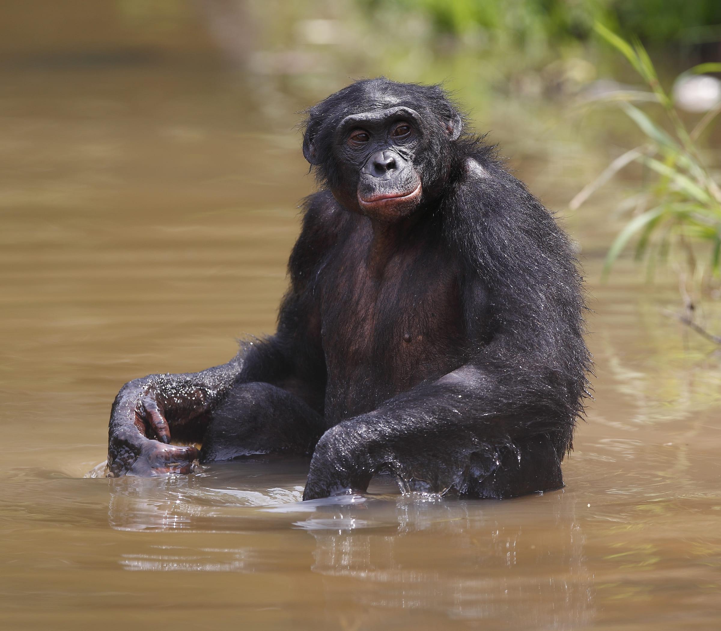 Bonobo im Wasser