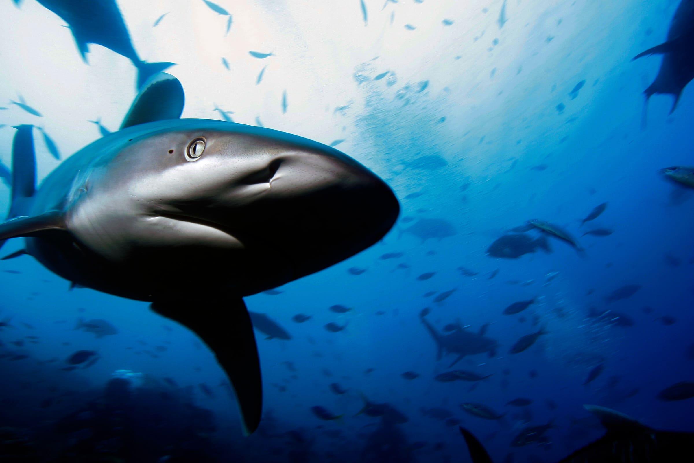 Silberspitzenhai in einem Fischschwarm