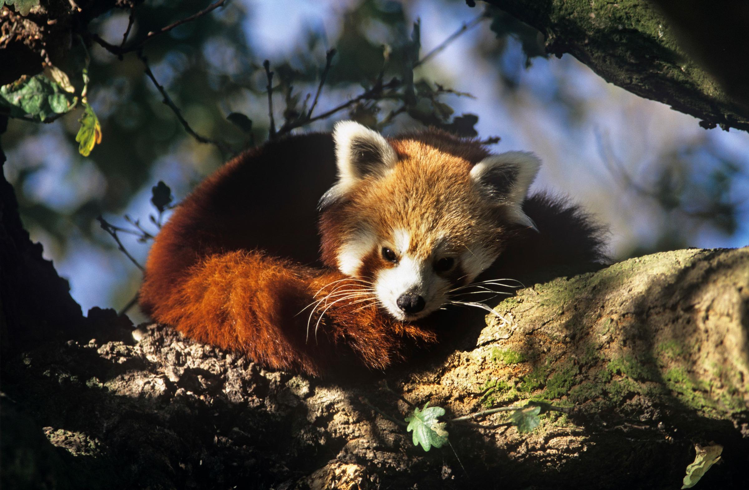 Un panda roux sur une branche