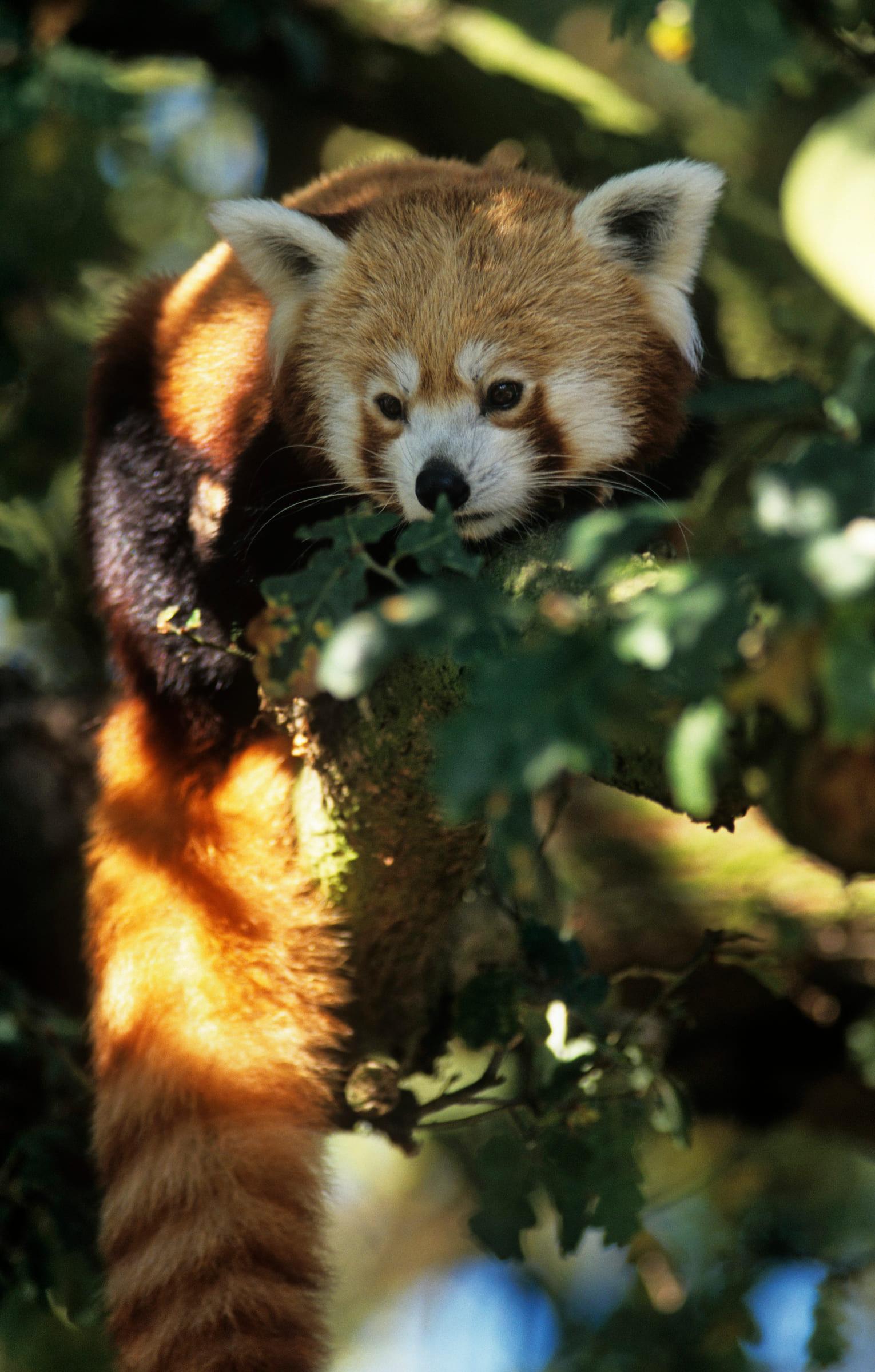 Panda rosso sul ramo