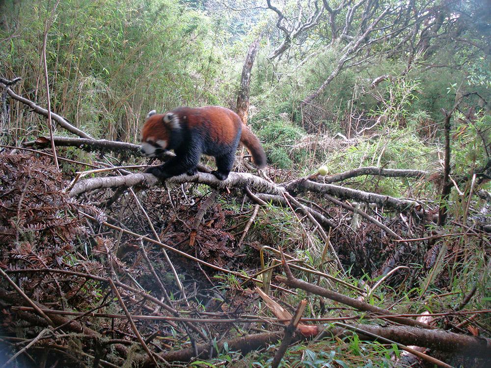 Panda rosso su un albero caduto