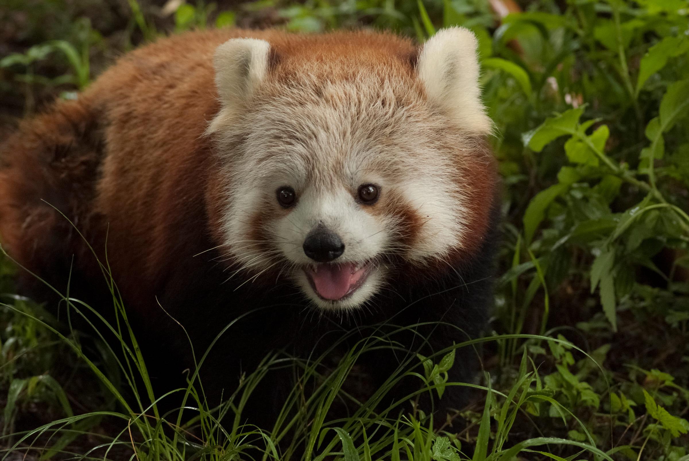 Roter Panda mit offenem Mund