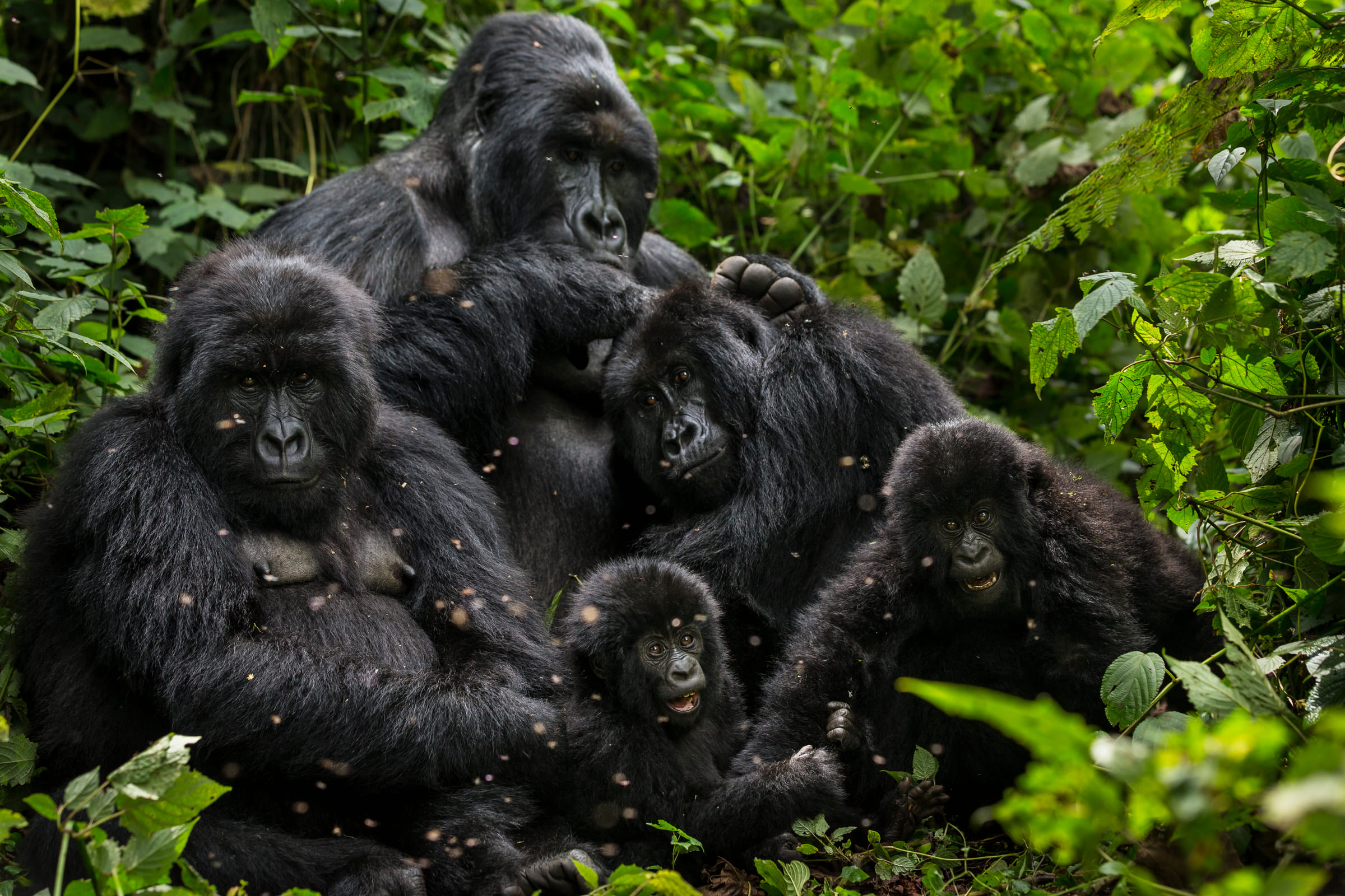 Gorillafamilie im Virunga-Nationalpark