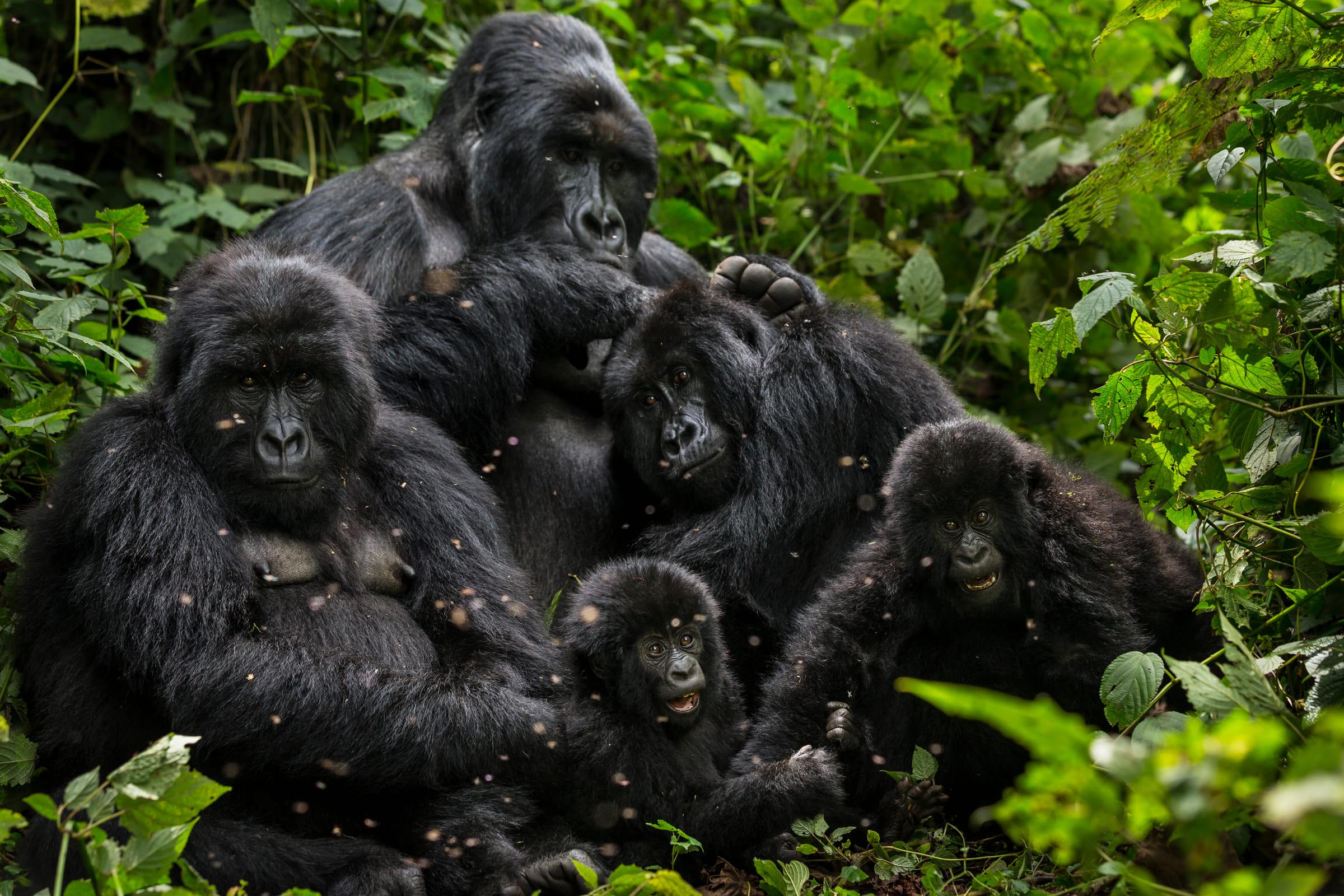 Famiglia di gorilla nel Parco Nazionale Virunga