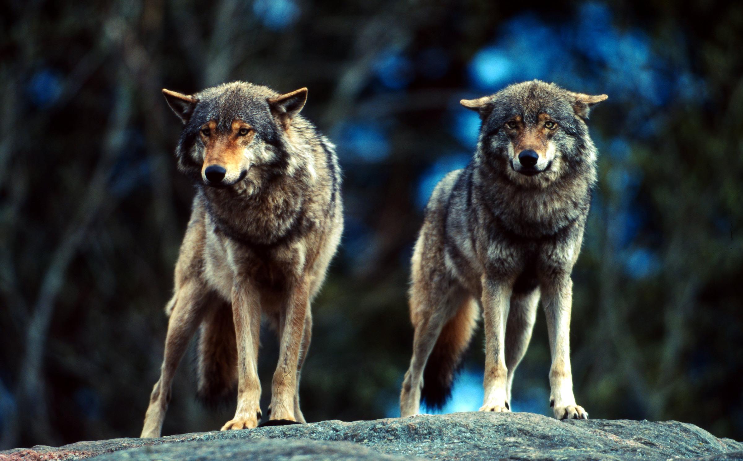 Zwei Wölfe stehen auf Fels