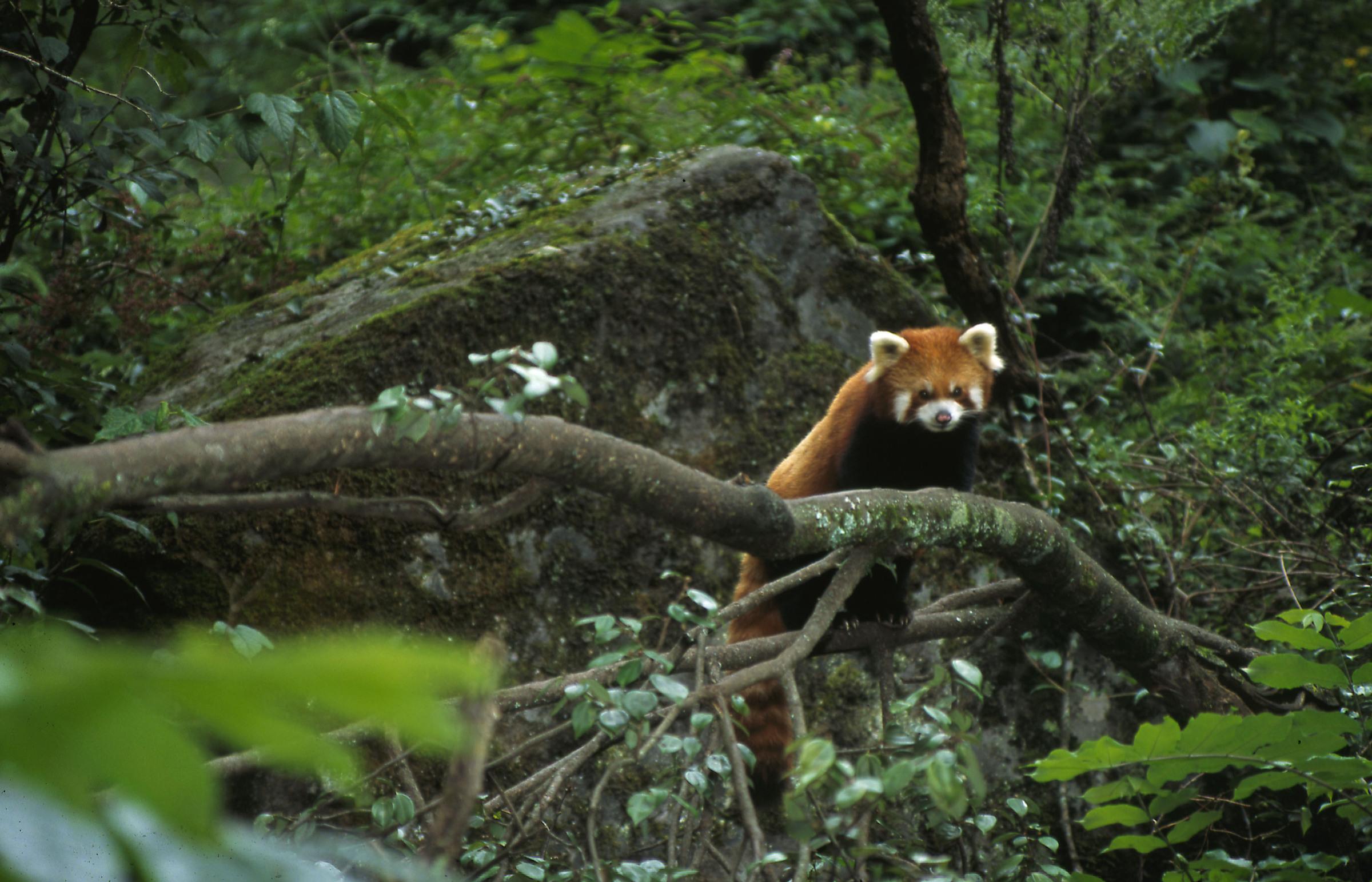 Lebensraum eines Roten Pandas
