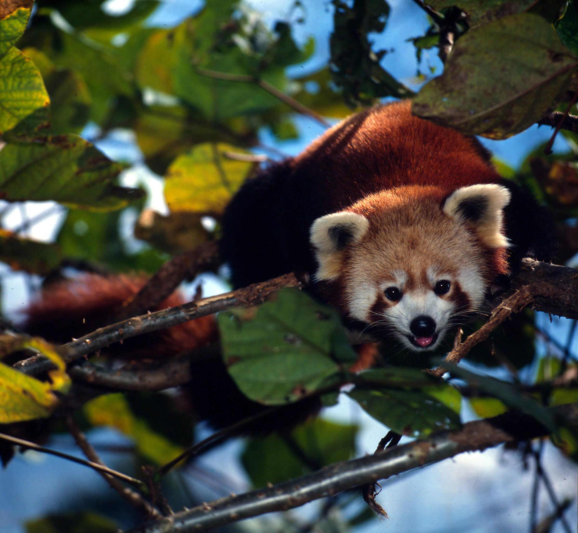 Panda rosso sull'albero