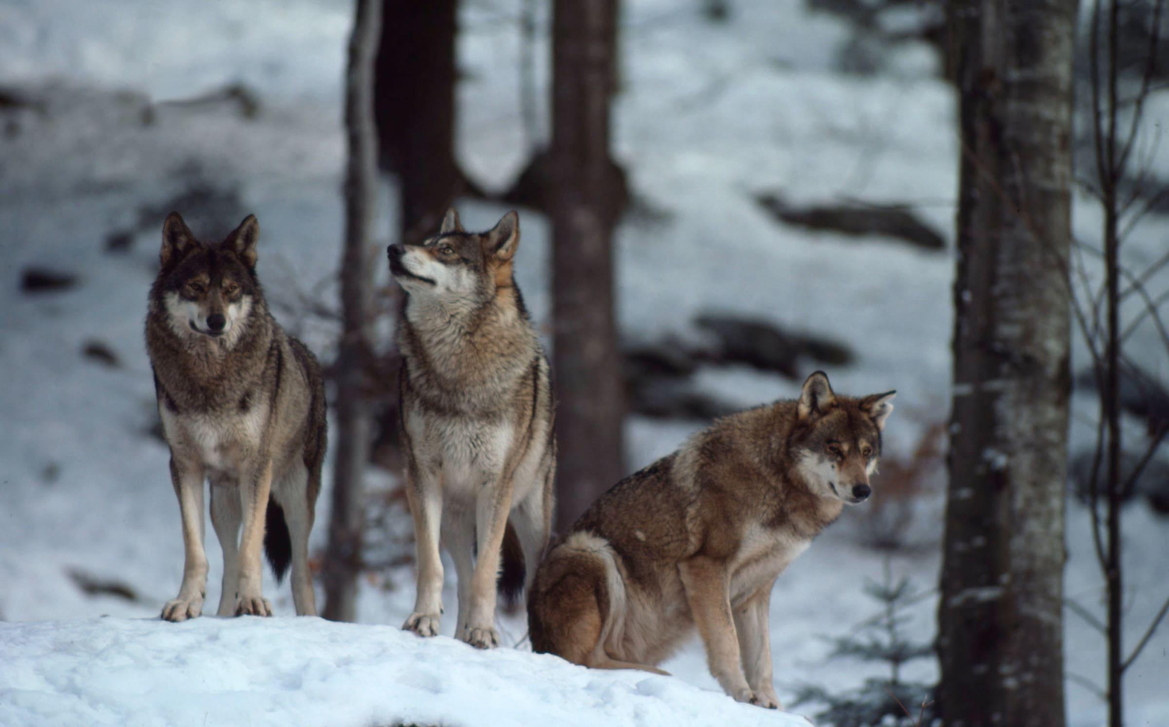 Drei Wölfe im Schnee