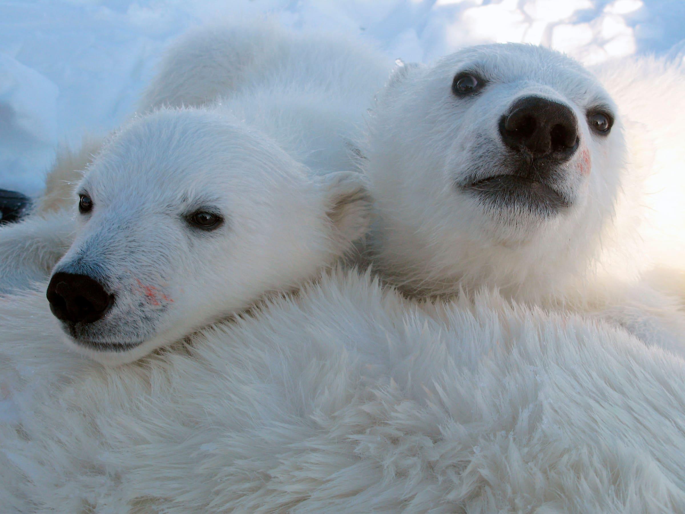 Deux jeunes ours polaire se reposent sur leur mère.