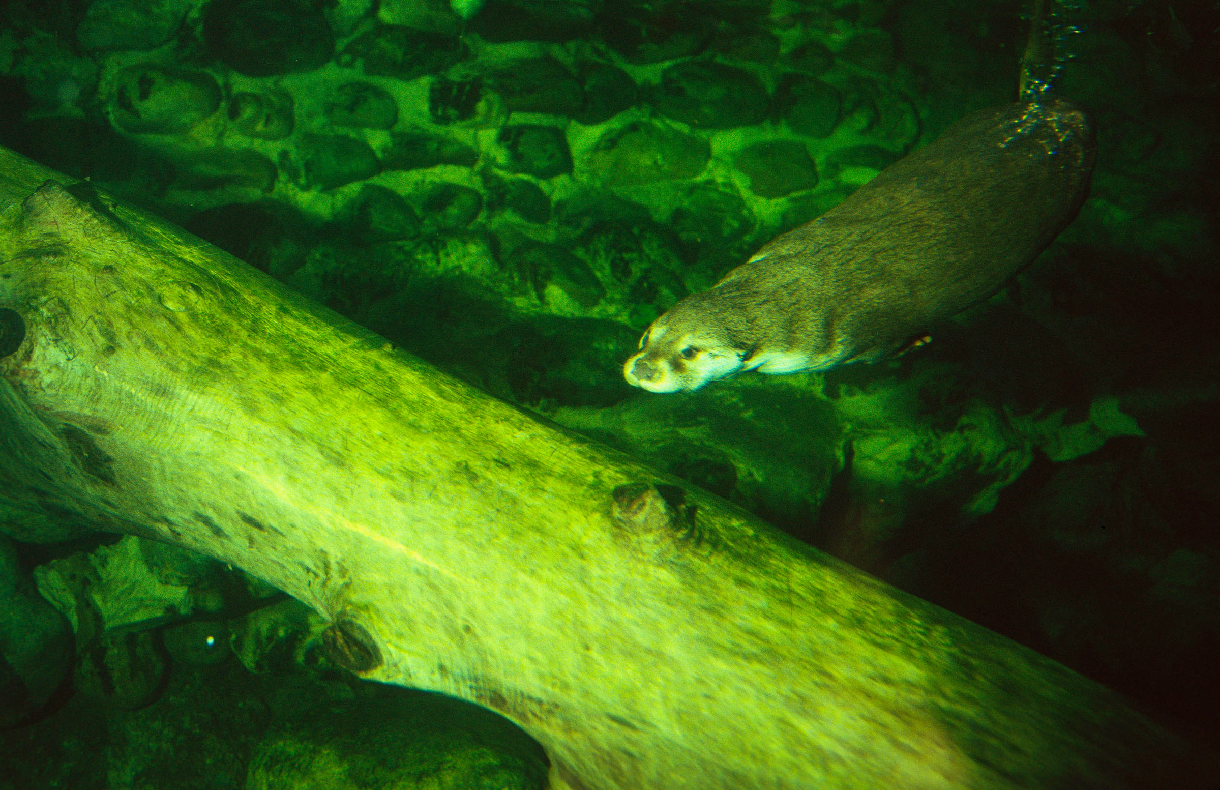 Una lontra che nuota