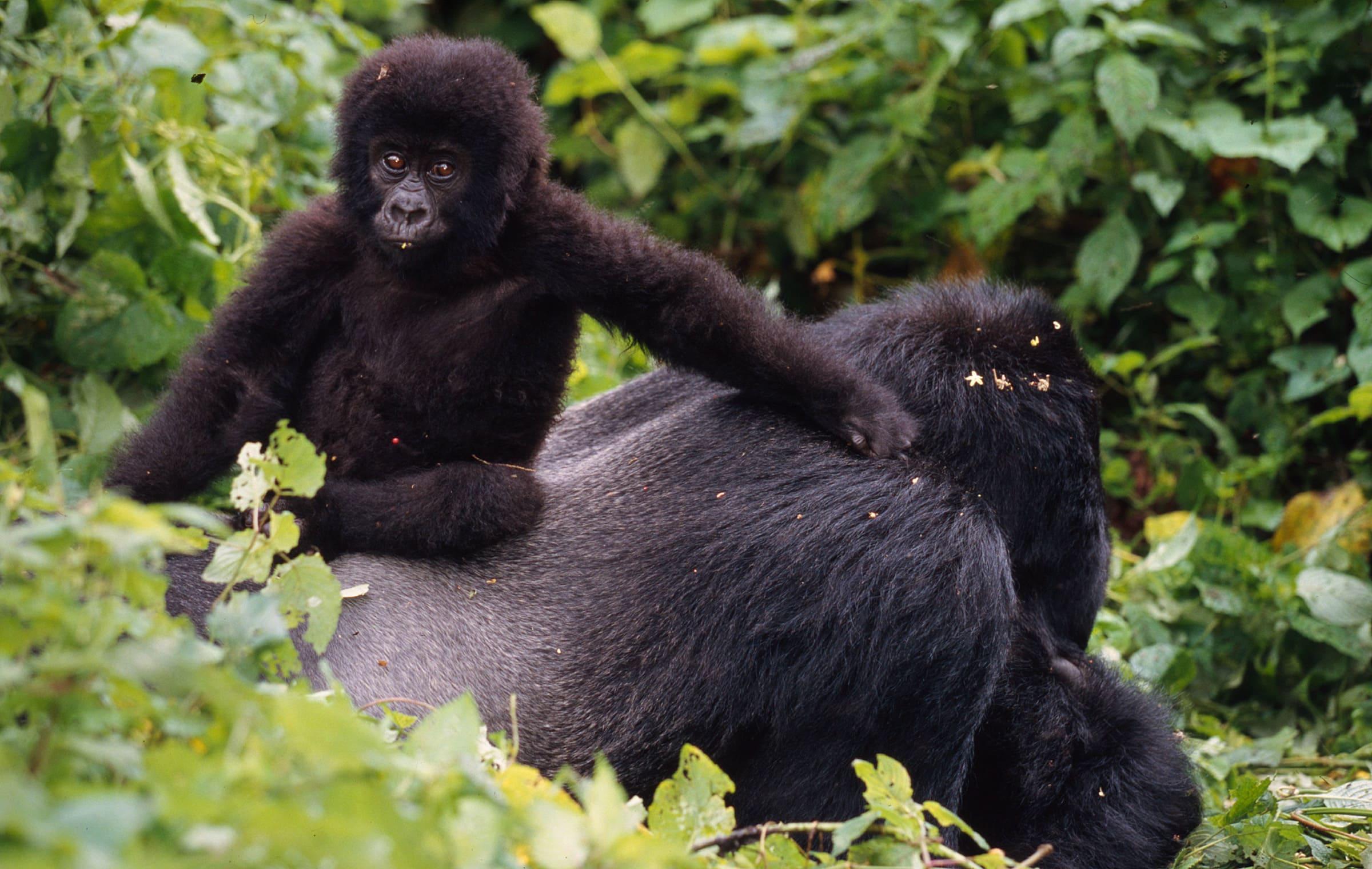 Östlicher Gorilla - Junges auf einem Silberrücken