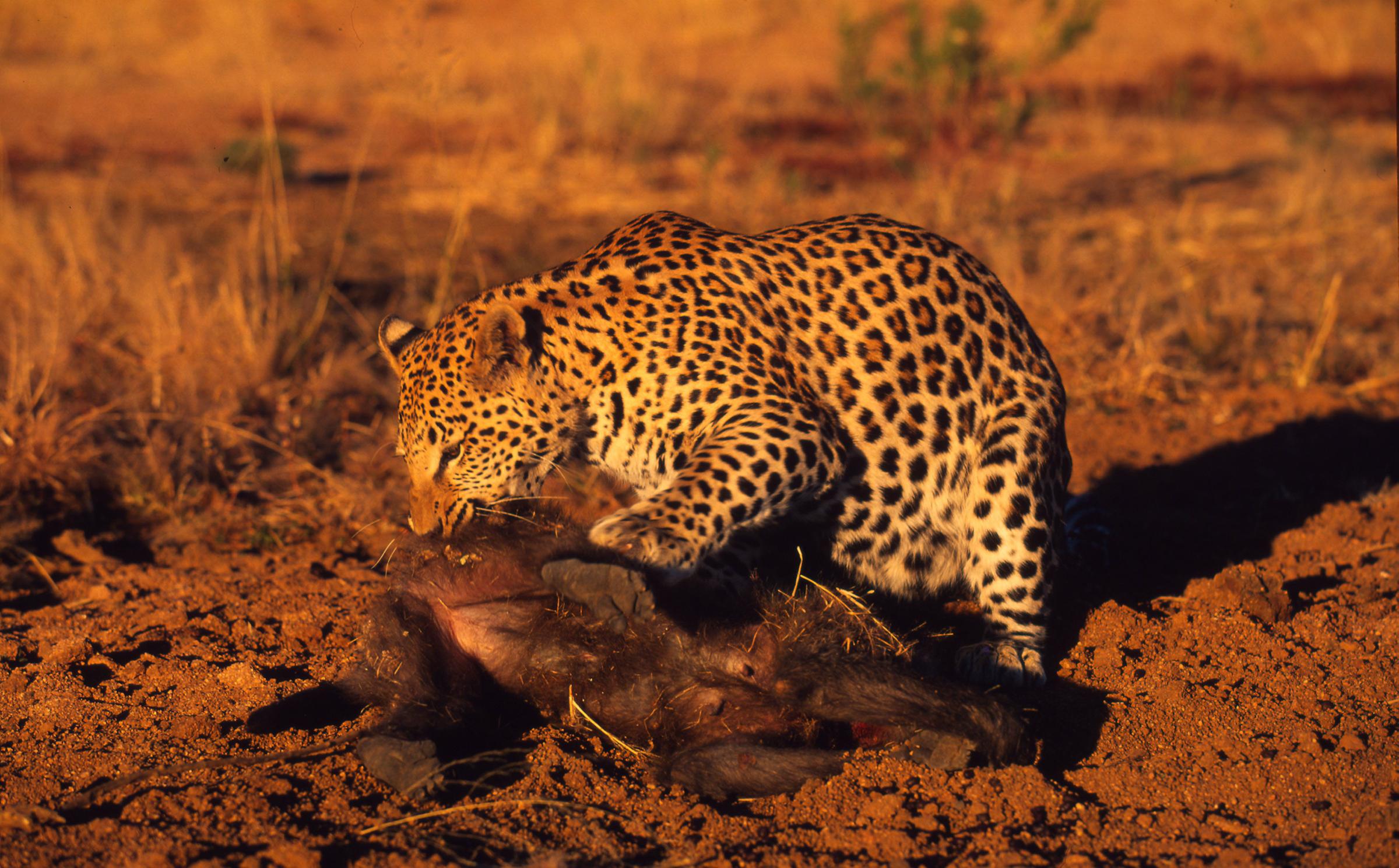 Leopard frisst einen Pavian
