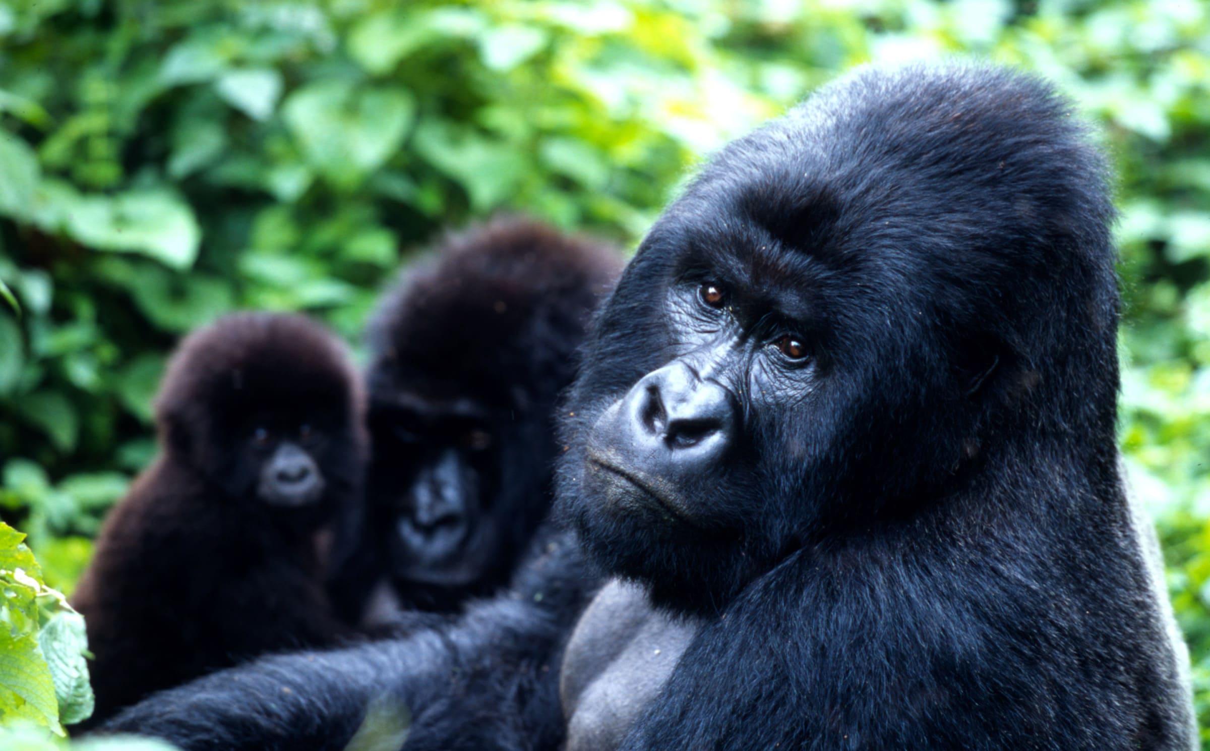 Berggorillafamilie