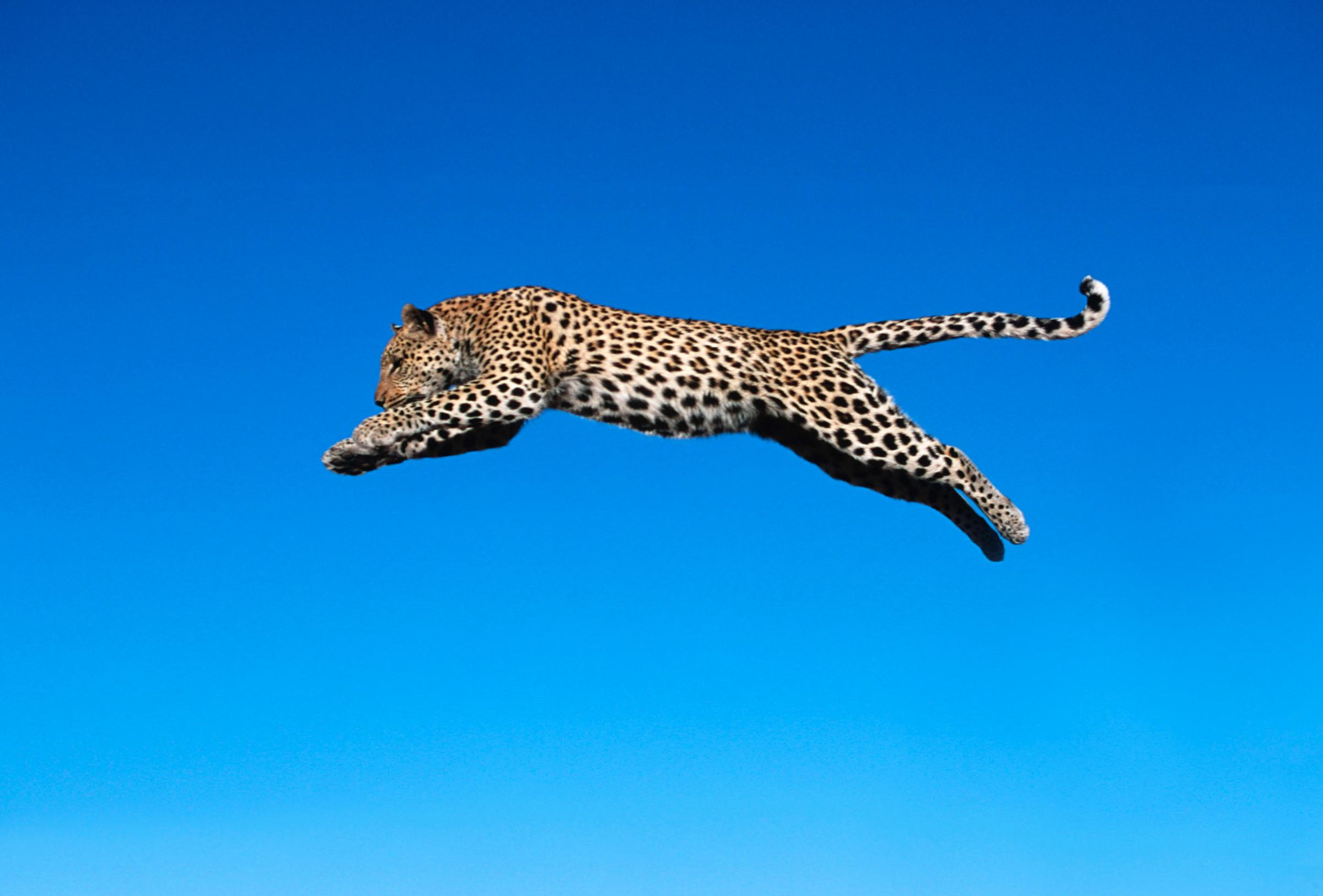 Springender Leopard