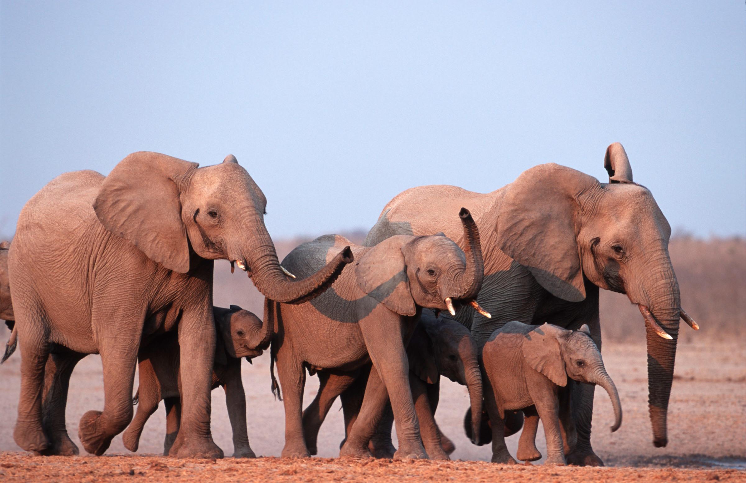 Afrikanische Elefanten, Namibia