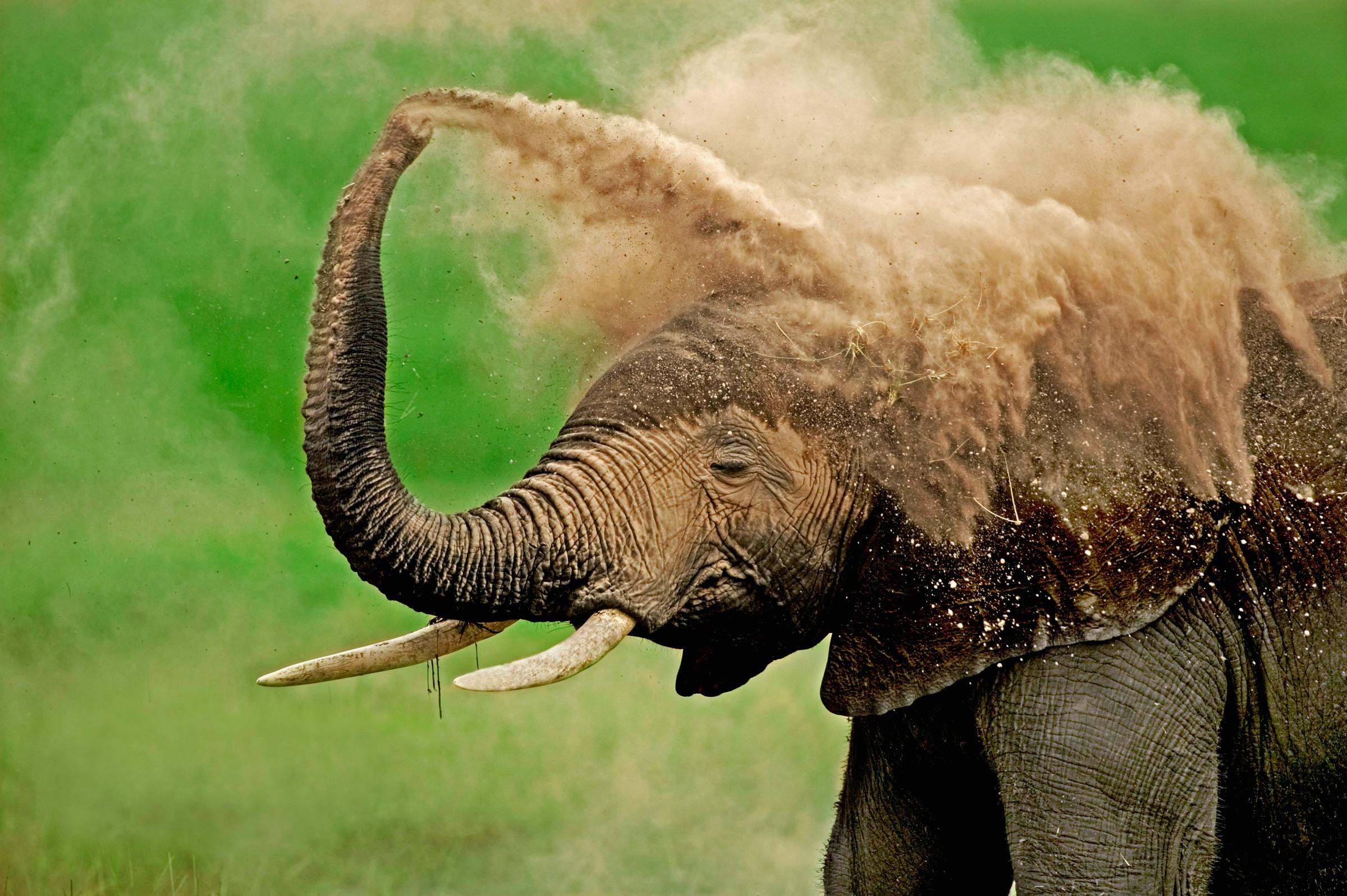 Afrikanischer Elefant bei einem Staubbad
