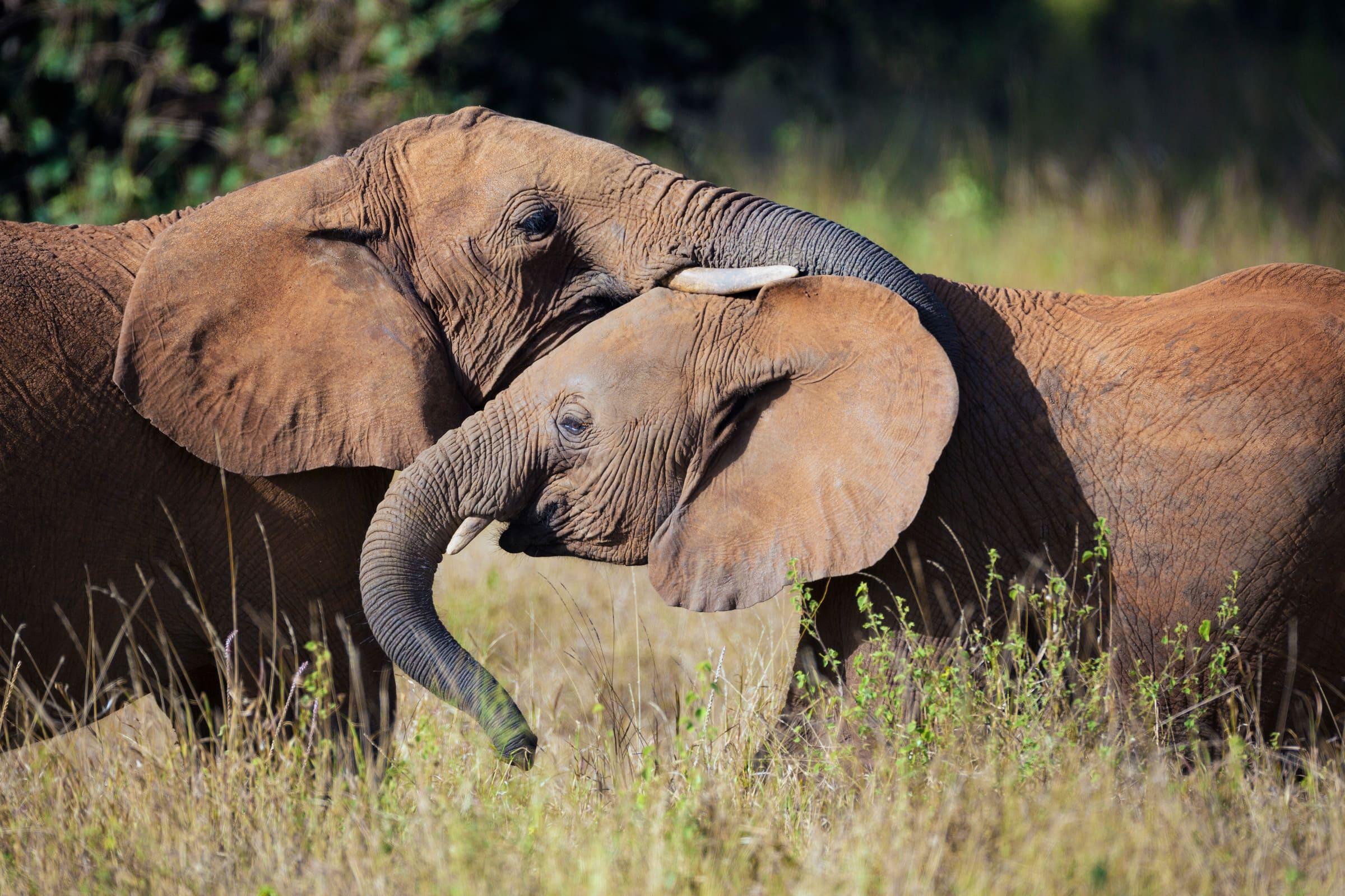 Zwei Afrikanische Elefanten