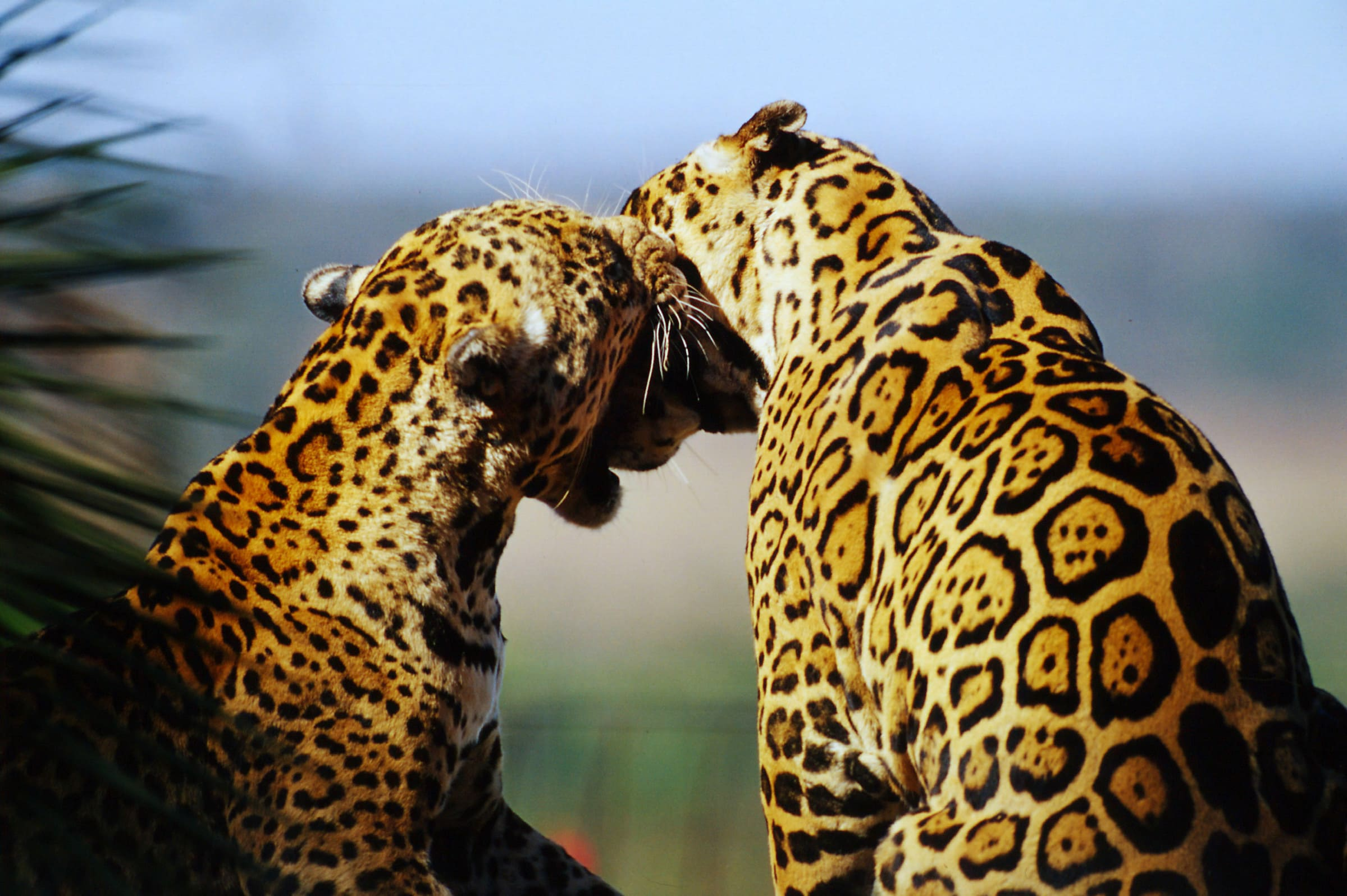 Zwei Jaguare