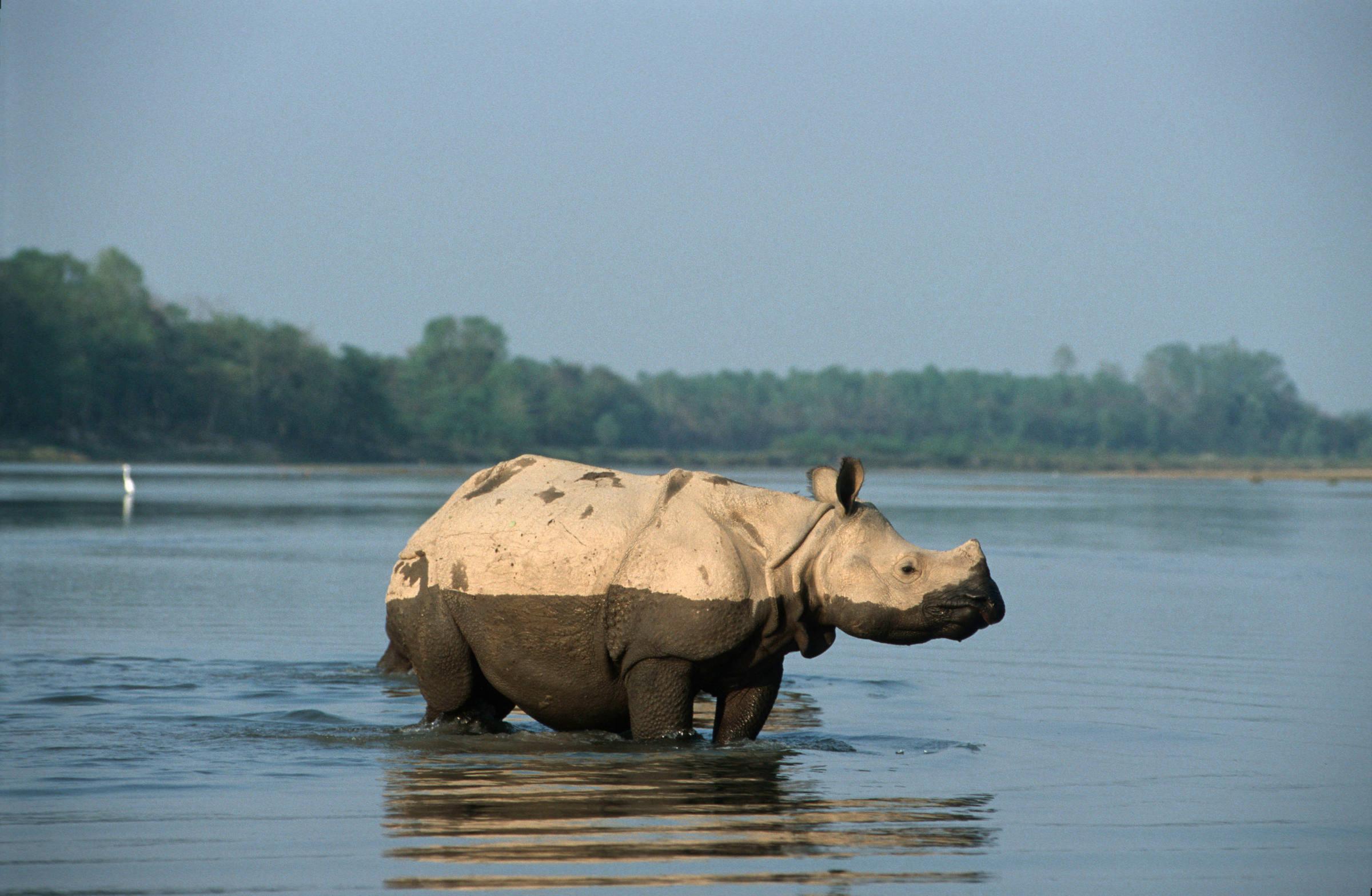 Indisches Panzernashorn steht im Wasser