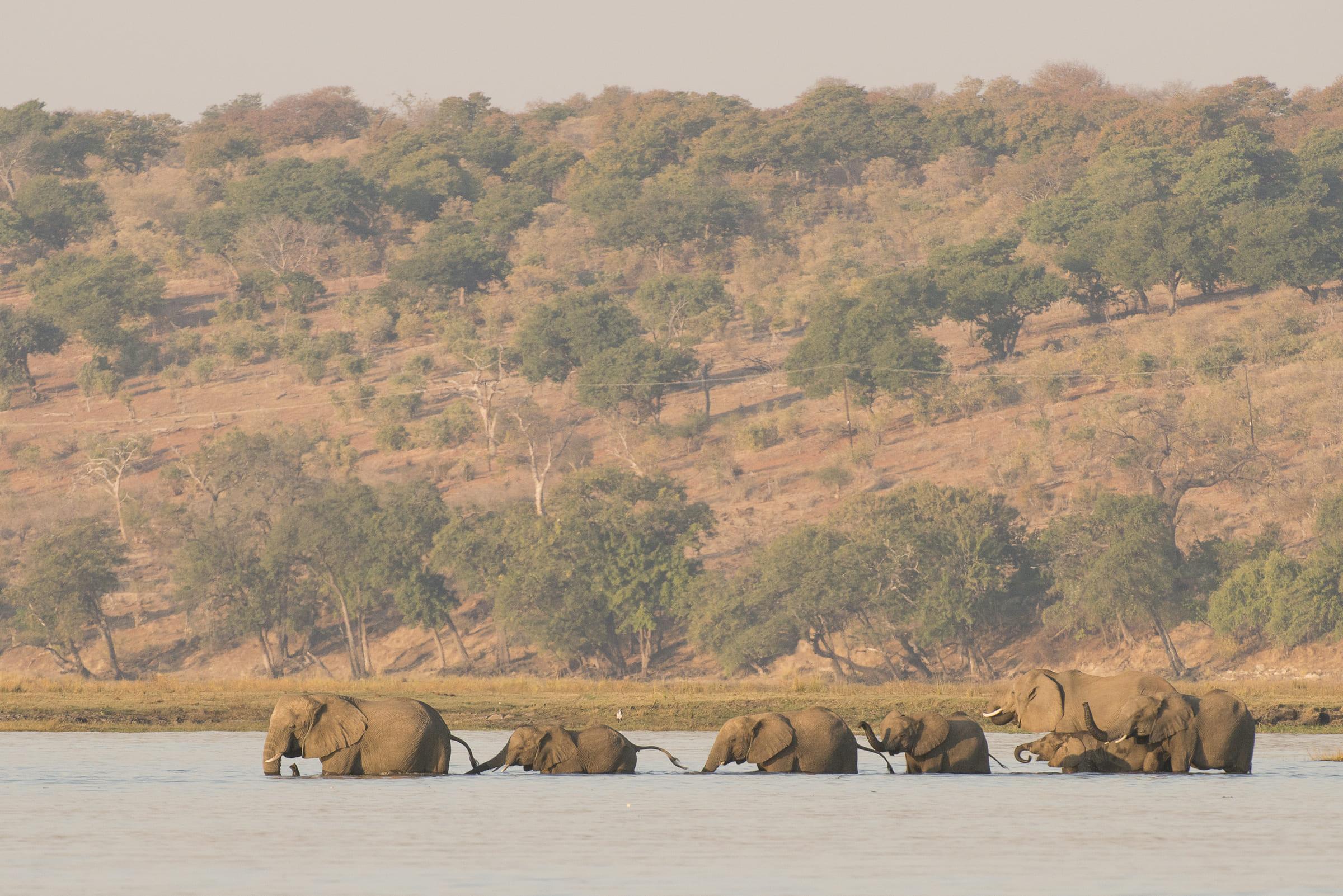 Afrikanische Elefanten durchqueren einen Fluss