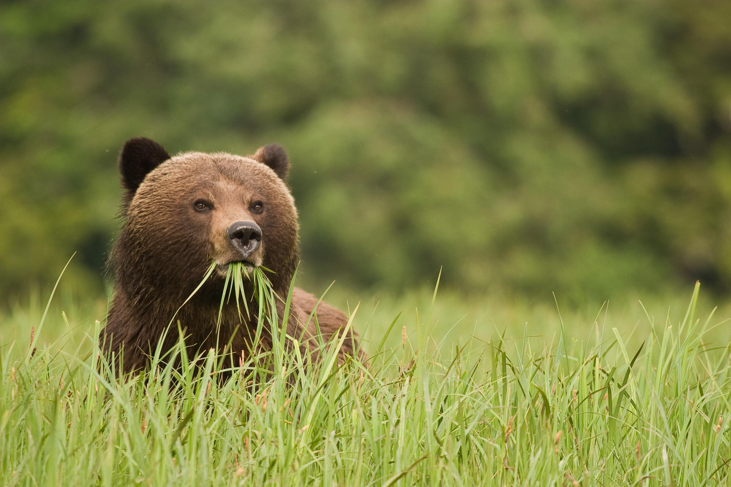 Un ours brun au Canada