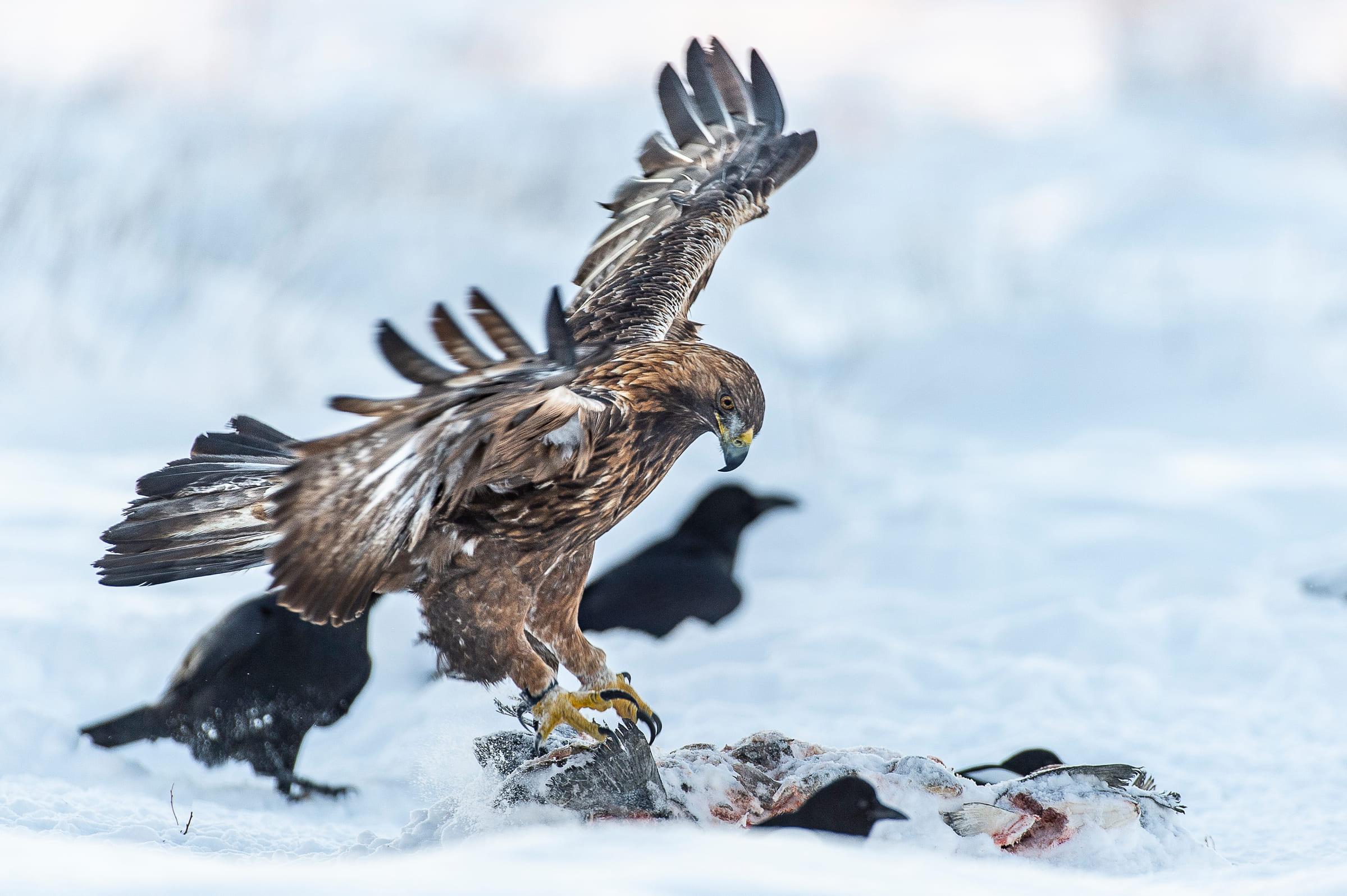 Un aigle royal attrape un poisson.