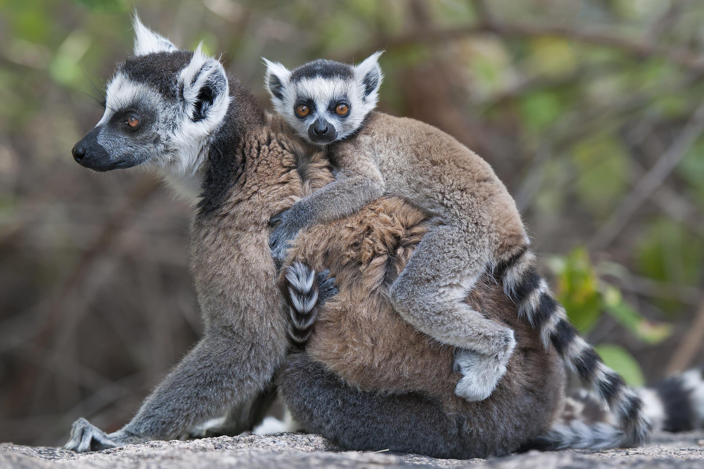 Katta-Weibchen mit Jungem