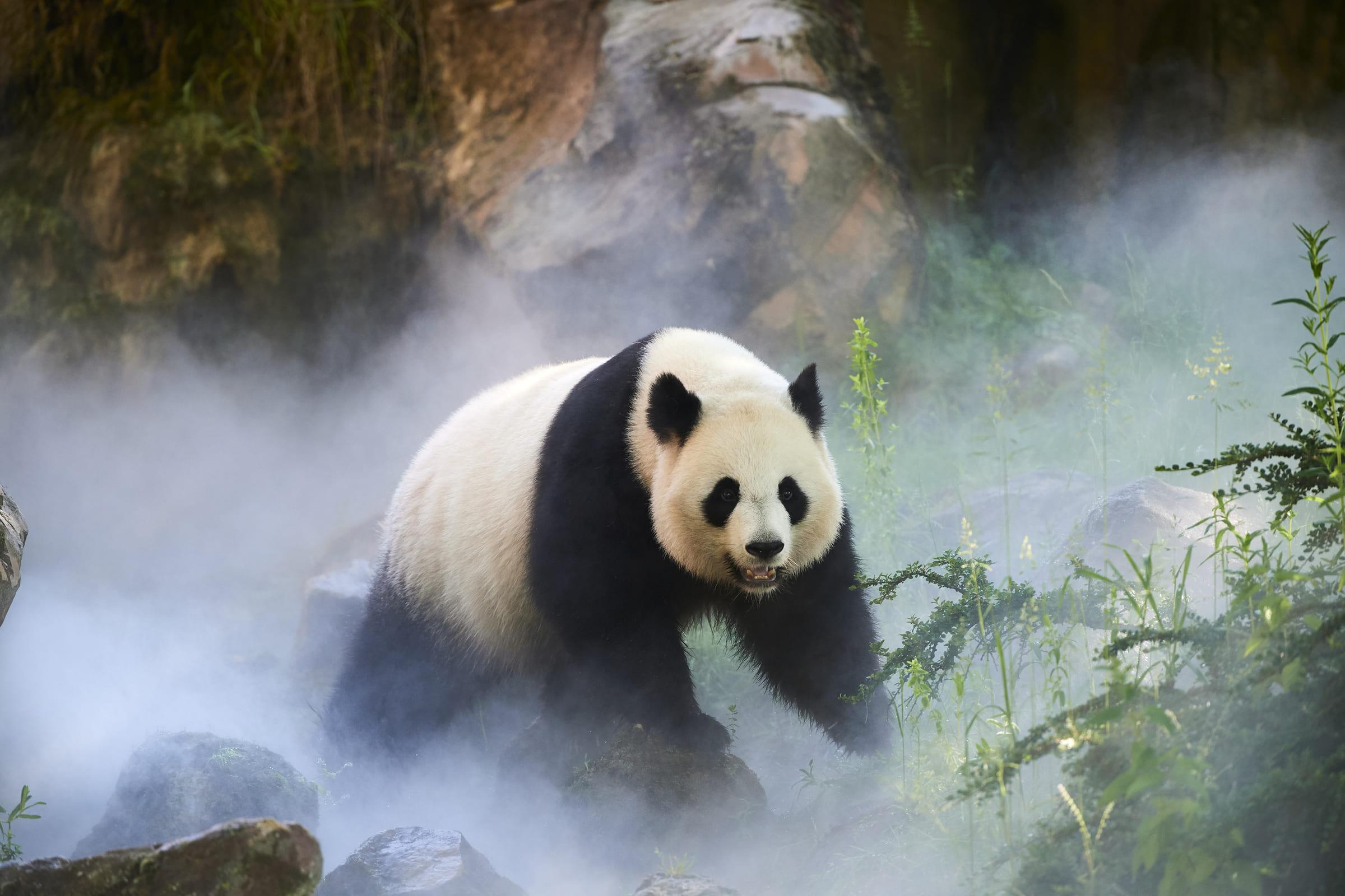 Grosser Panda im Nebel