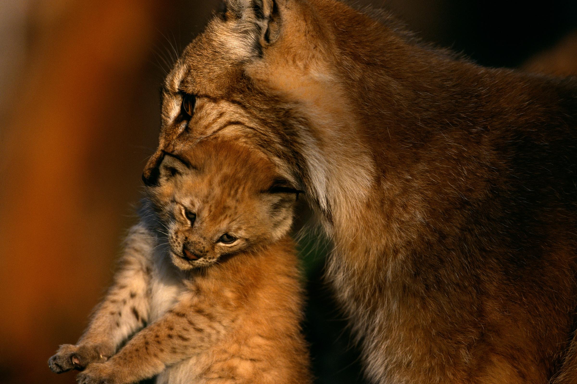 Eurasischer Luchs: Mutter mit Jungem