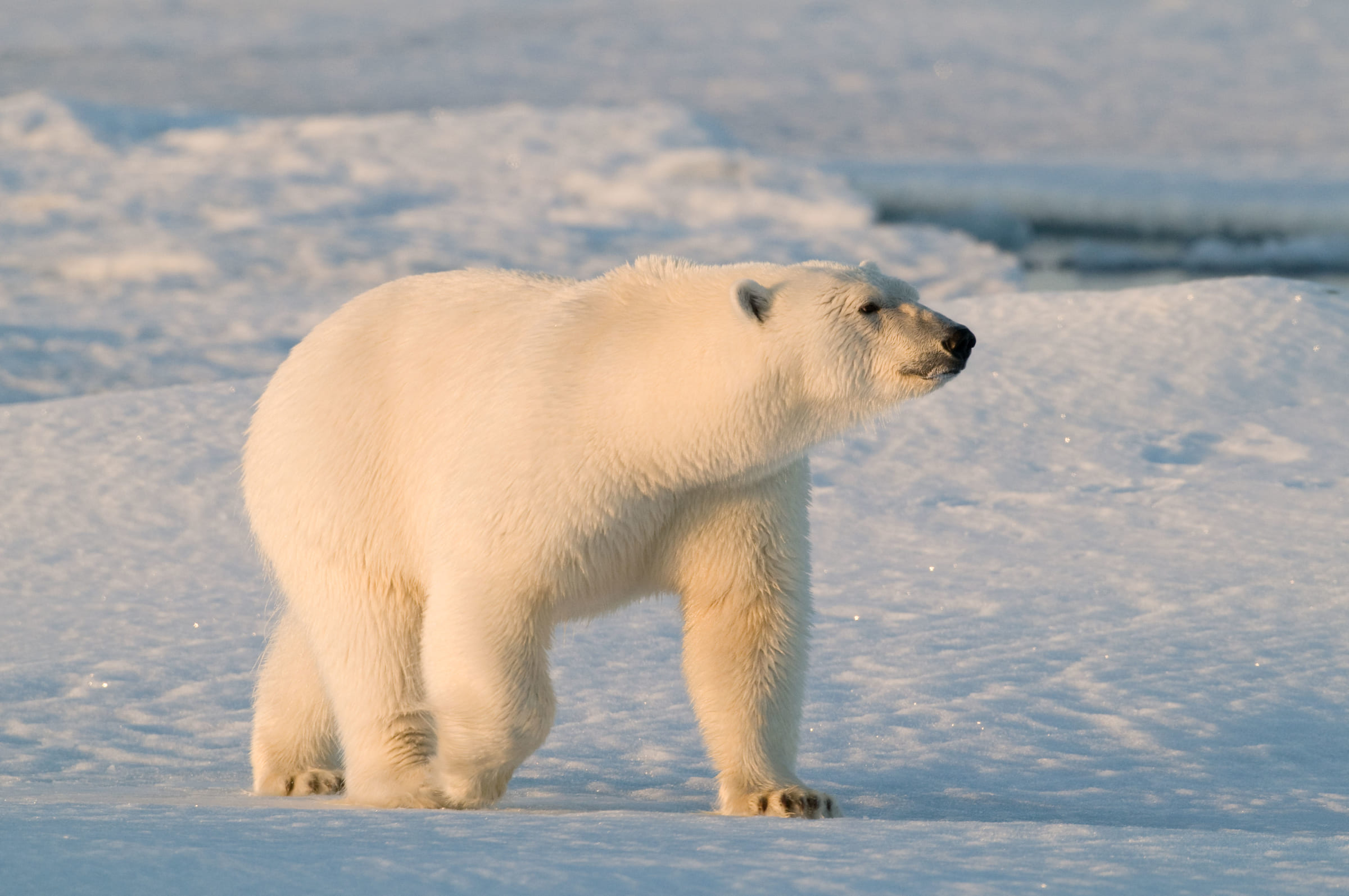 Un ours polaire sur la glace